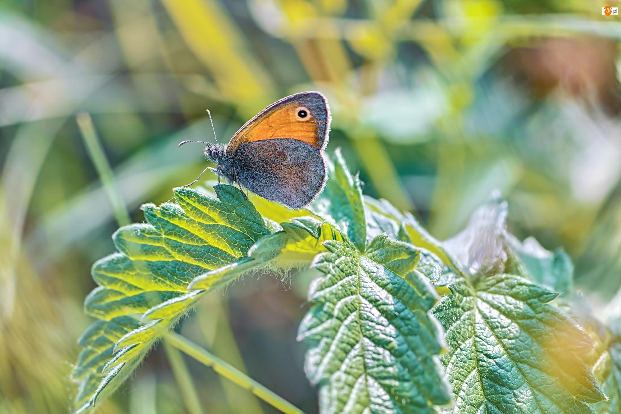 Liście, Motyl, Strzępotek ruczajnik, Roślina
