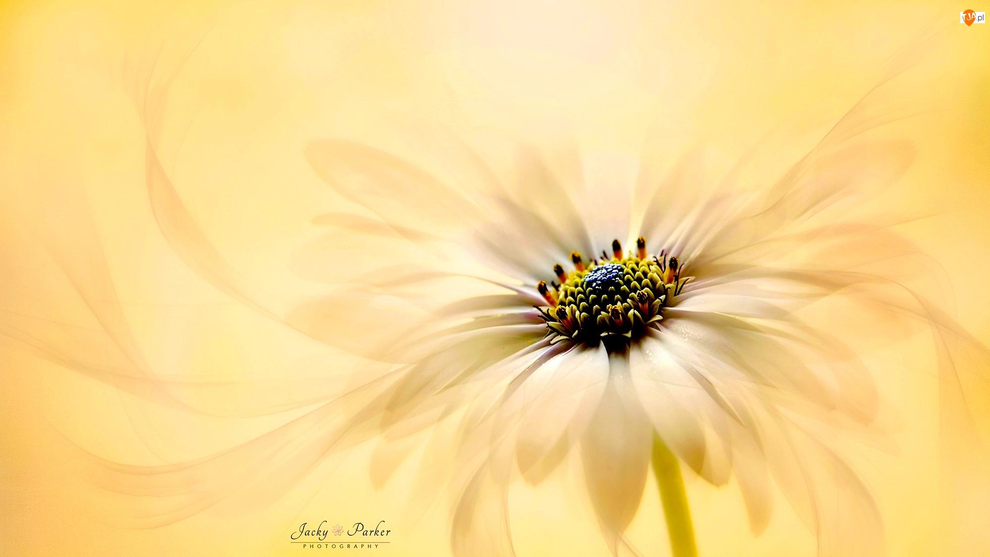 Stokrotka afrykańska, Rozmycie, Kwiat, Żółty, Makro
