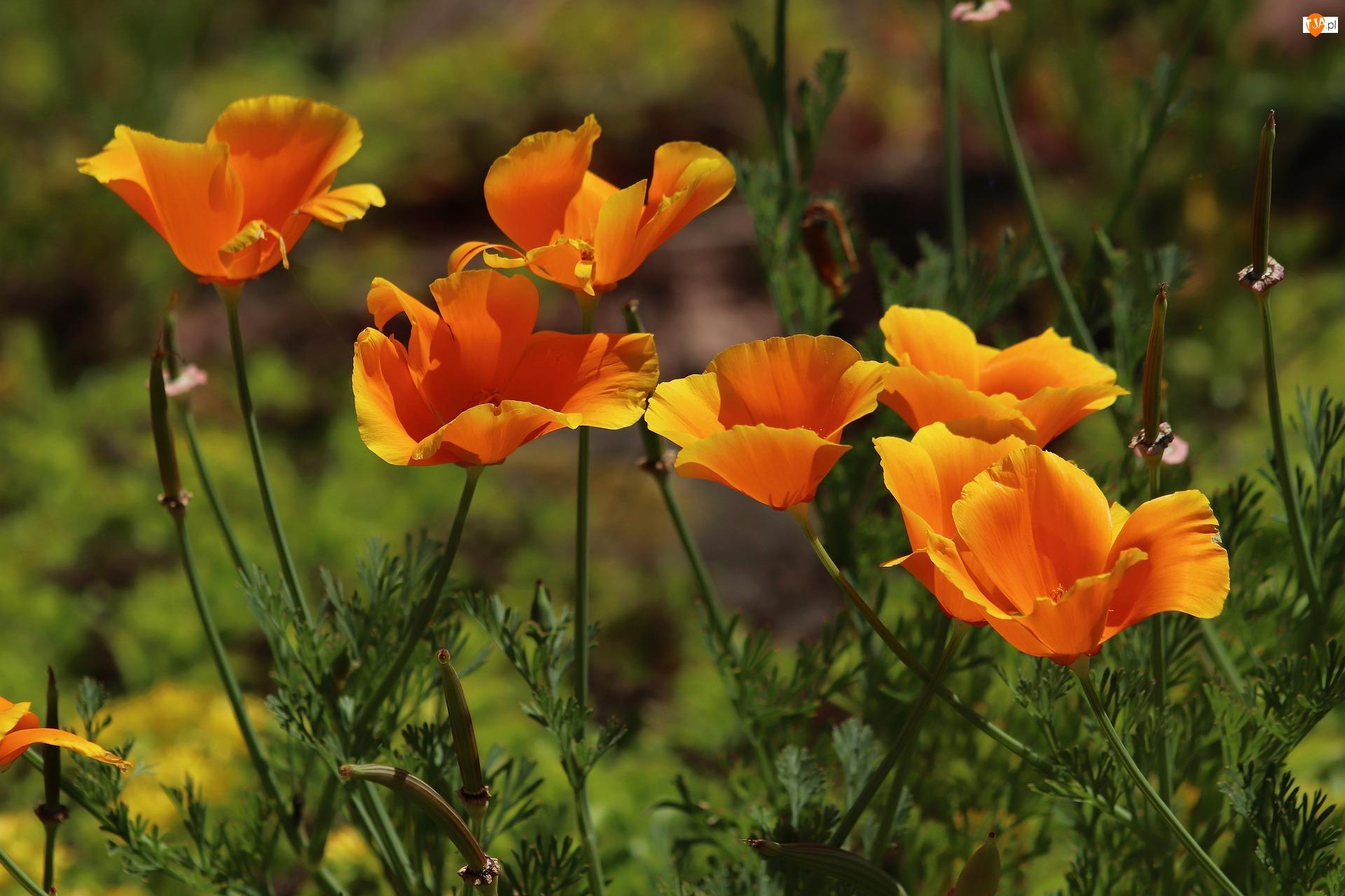 Maczki kalifornijskie, Kwiaty, Pozłotki