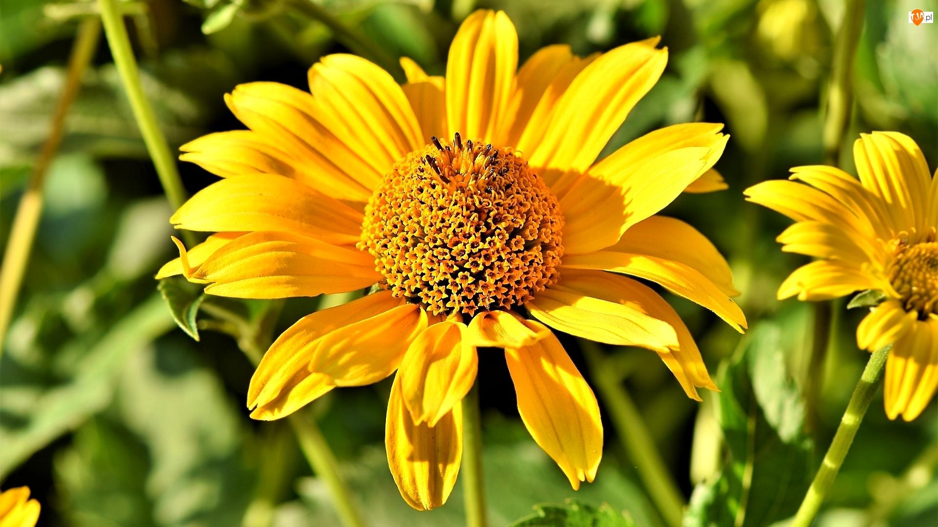 Słoneczniczek, Żółty, Kwiat