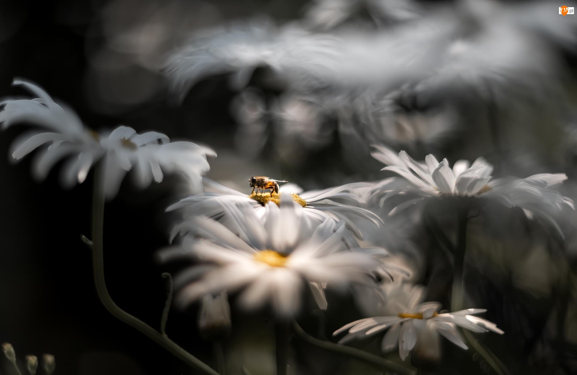 Zbliżenie, Margerytki, Złocienie, Pszczoła