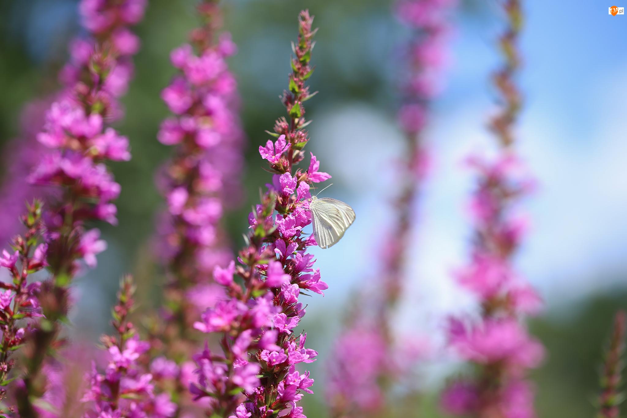 Kwiaty, Bielinek kapustnik, Motyl, Różowe
