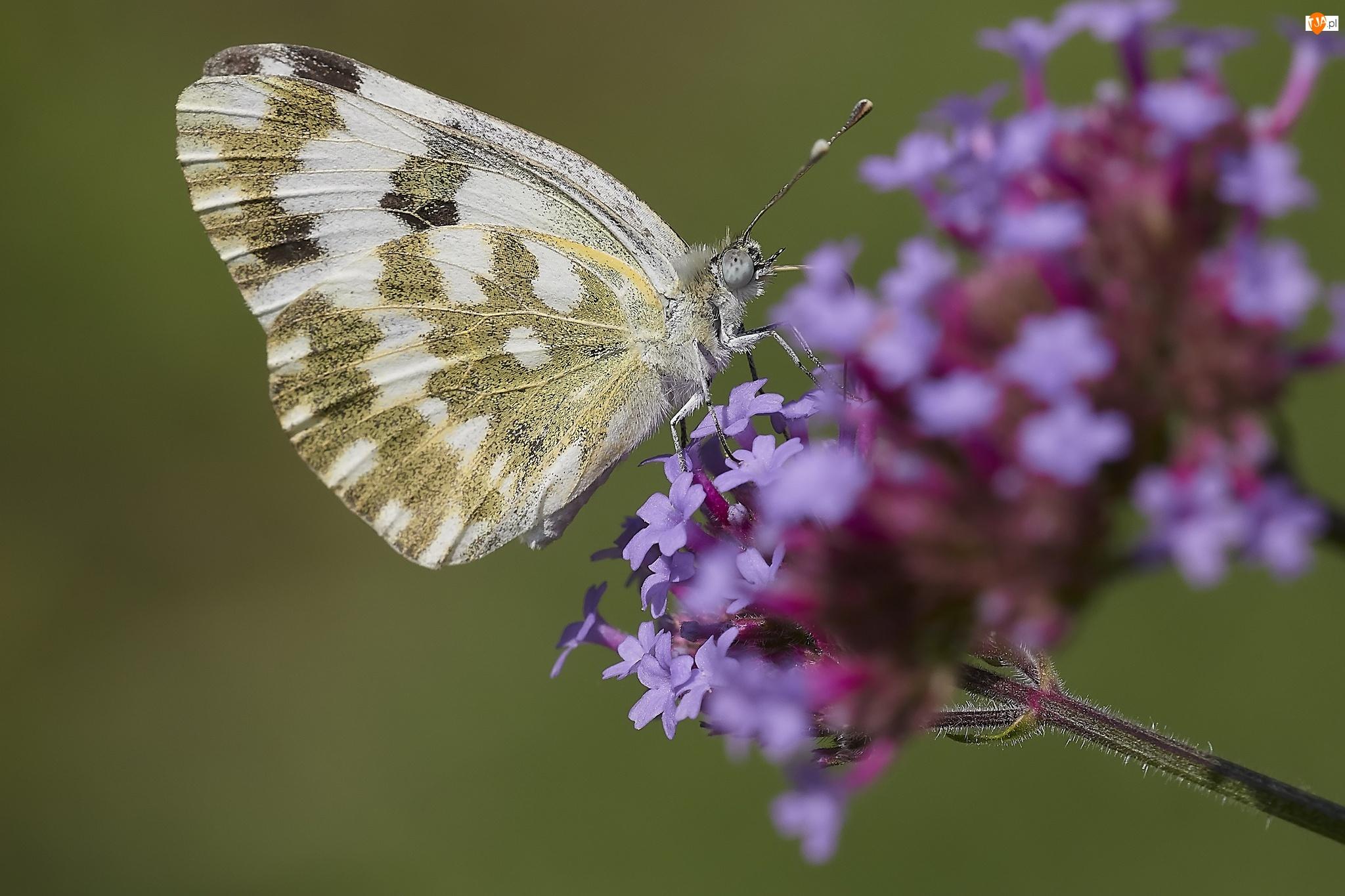 Makro, Motyl, Fioletowy, Kwiat