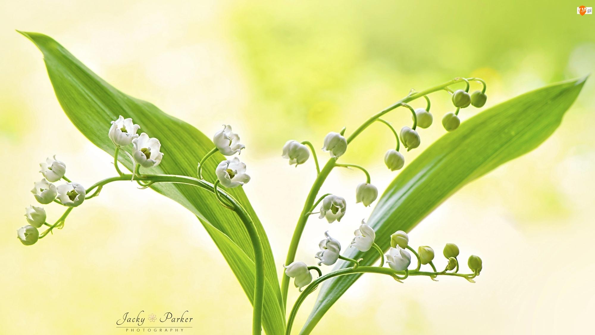 Liście, Kwiaty, Konwalie