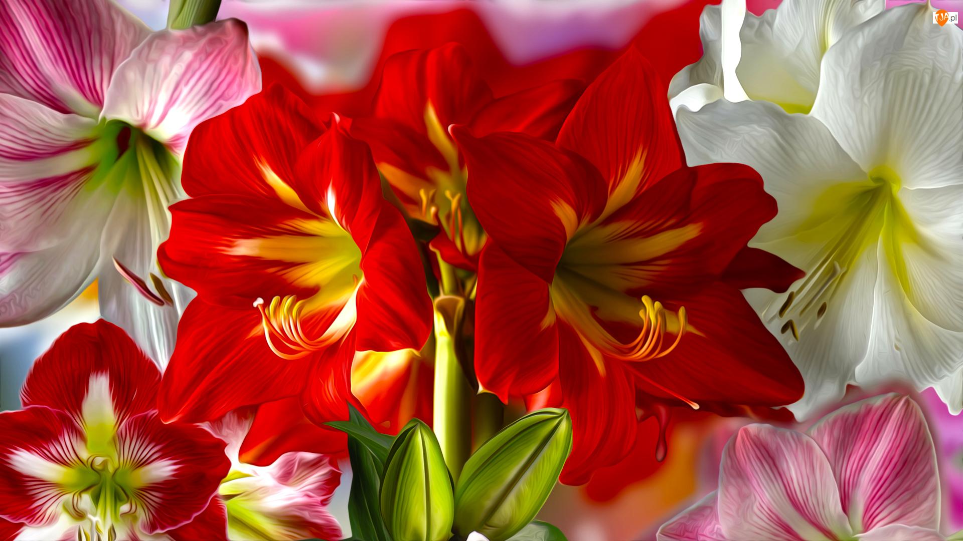 Grafika, Kwiaty, Amarylis