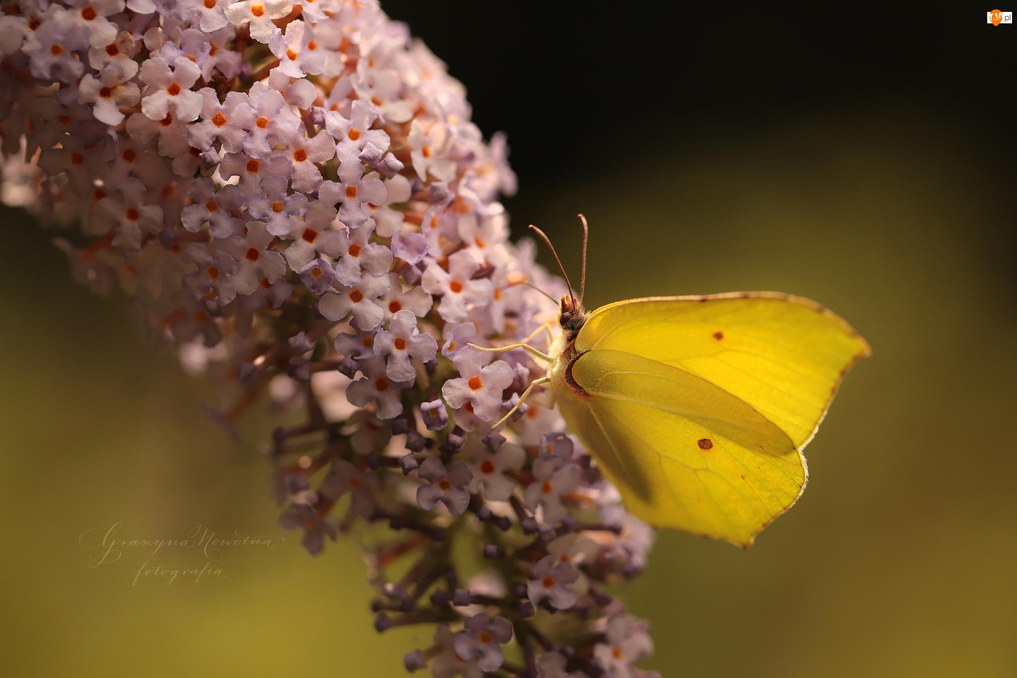 Budleja, Motyl, Latolistek cytrynek