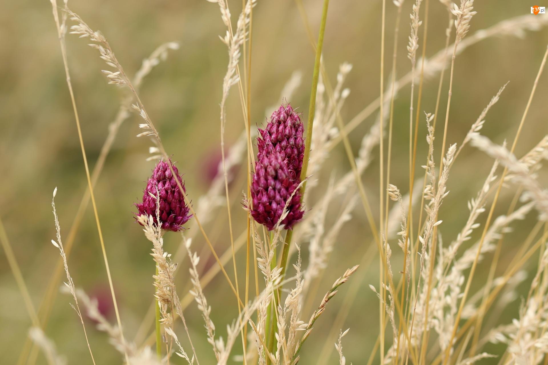 Czosnek główkowaty, Źdźbła, Trawa, Kwiaty