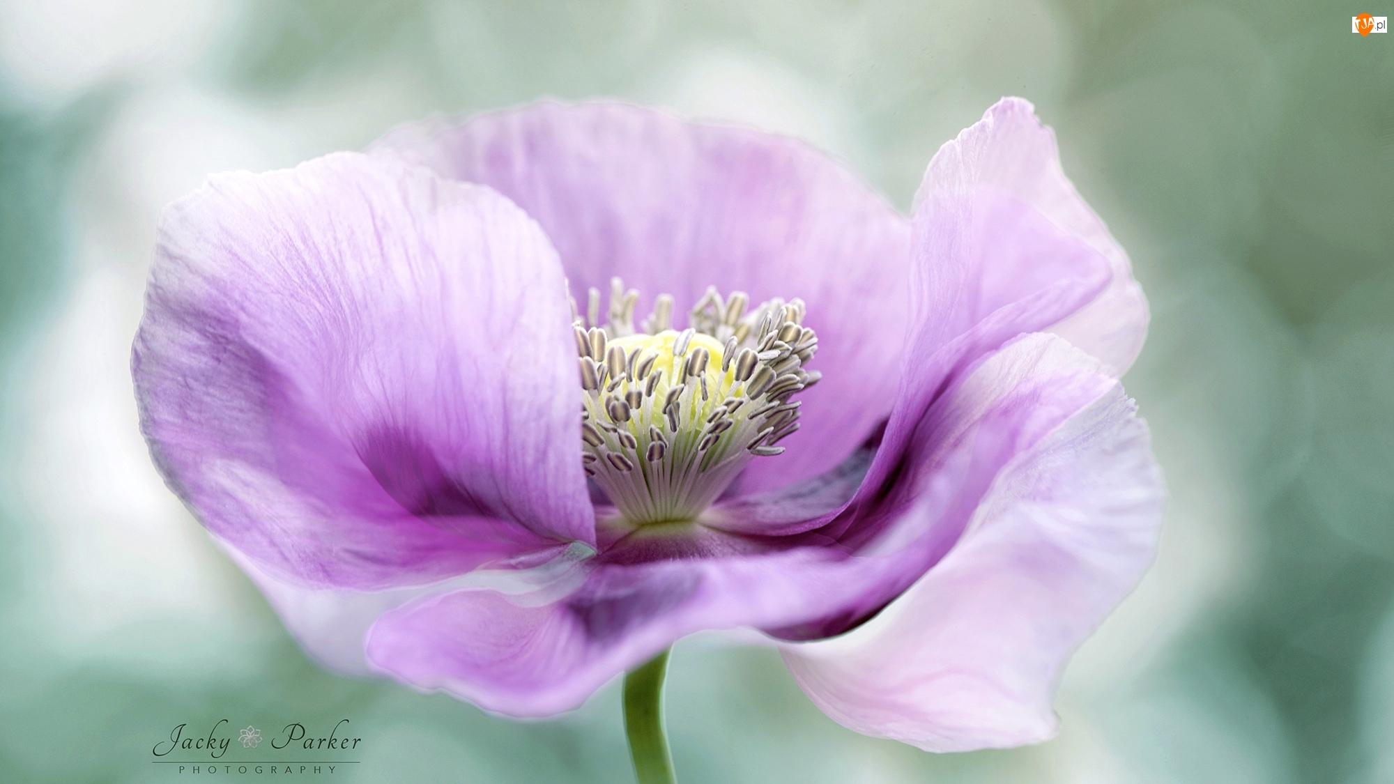 Różowy, Makro, Pręciki, Kwiat, Zawilec