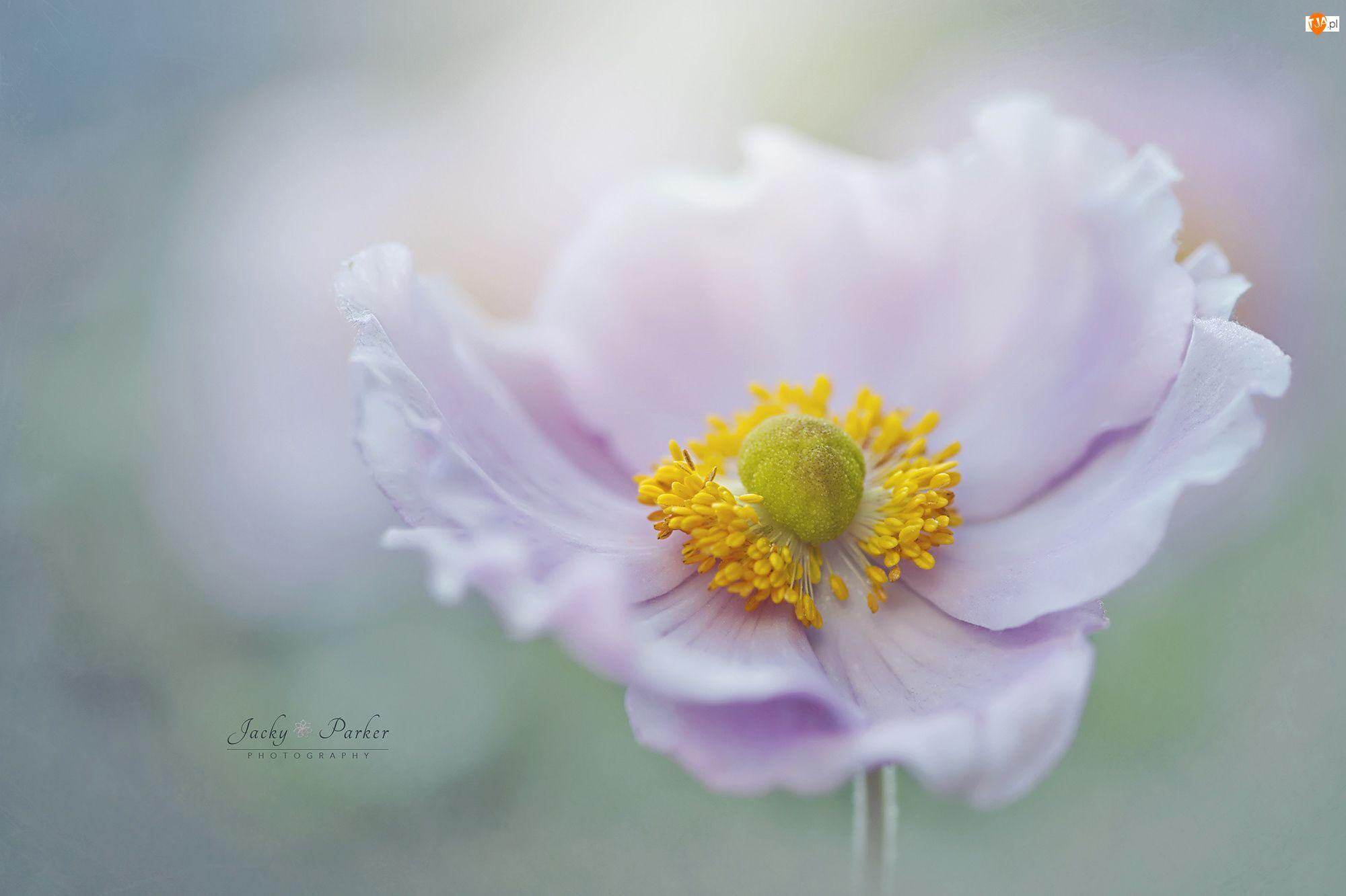 Makro, Kwiat, Różowy, Zawilec