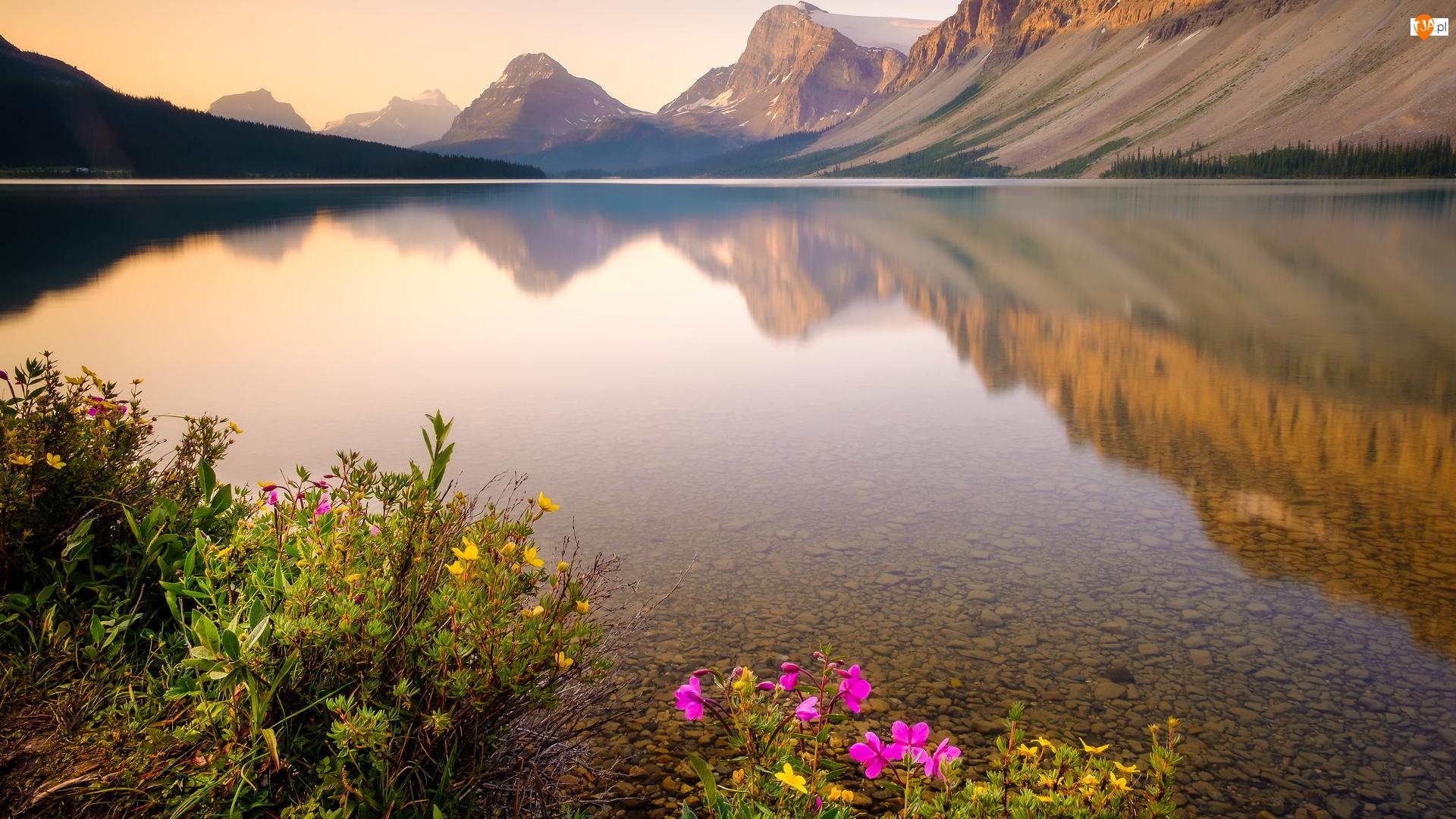 Góry Skaliste, Jezioro Bow Lake, Park Narodowy Banff, Kanada, Kwiaty, Prowincja Alberta