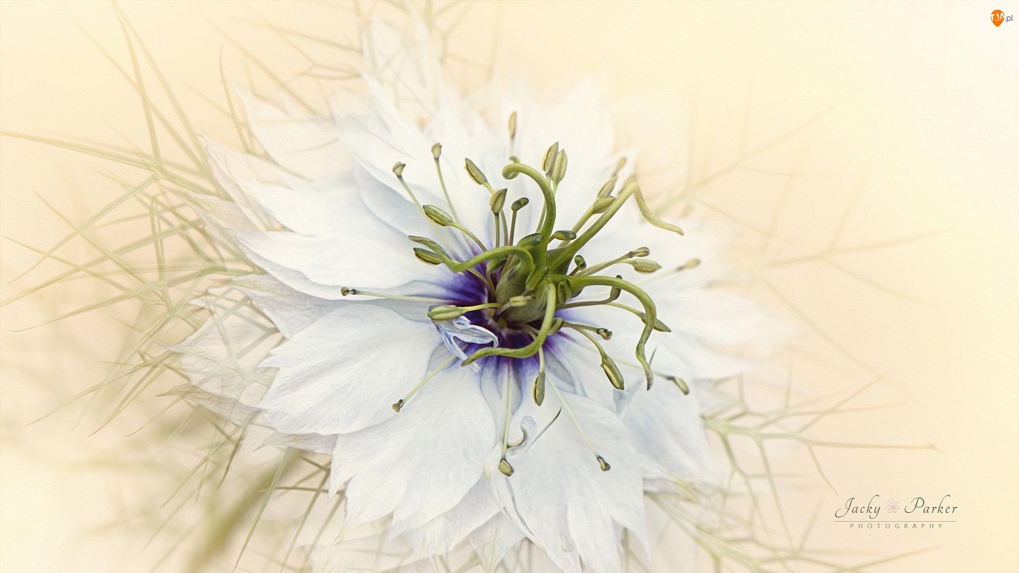Makro, Kwiat, Czarnuszka damasceńska, Pręciki