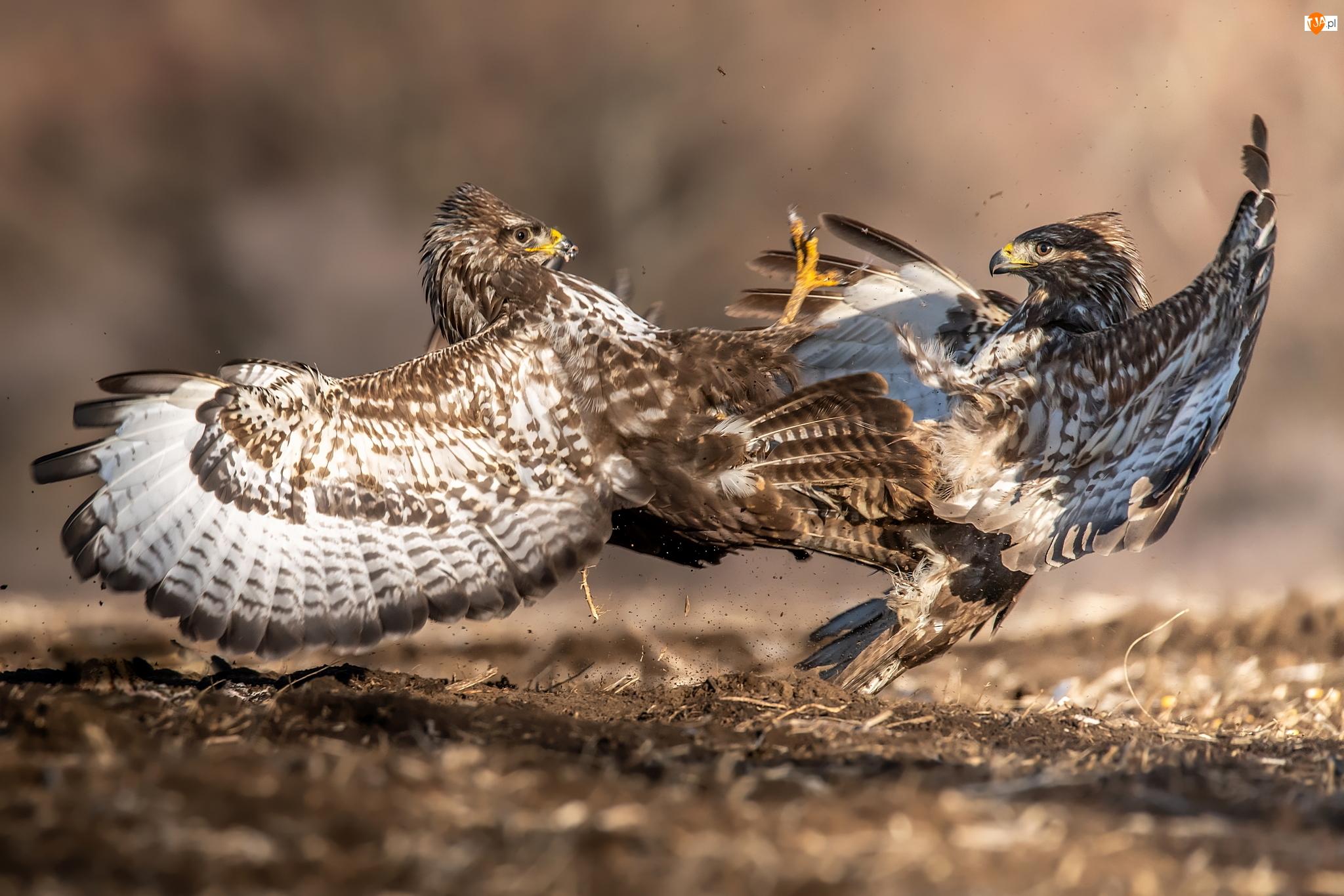 Walka, Dwa, Ptaki, Myszołowy