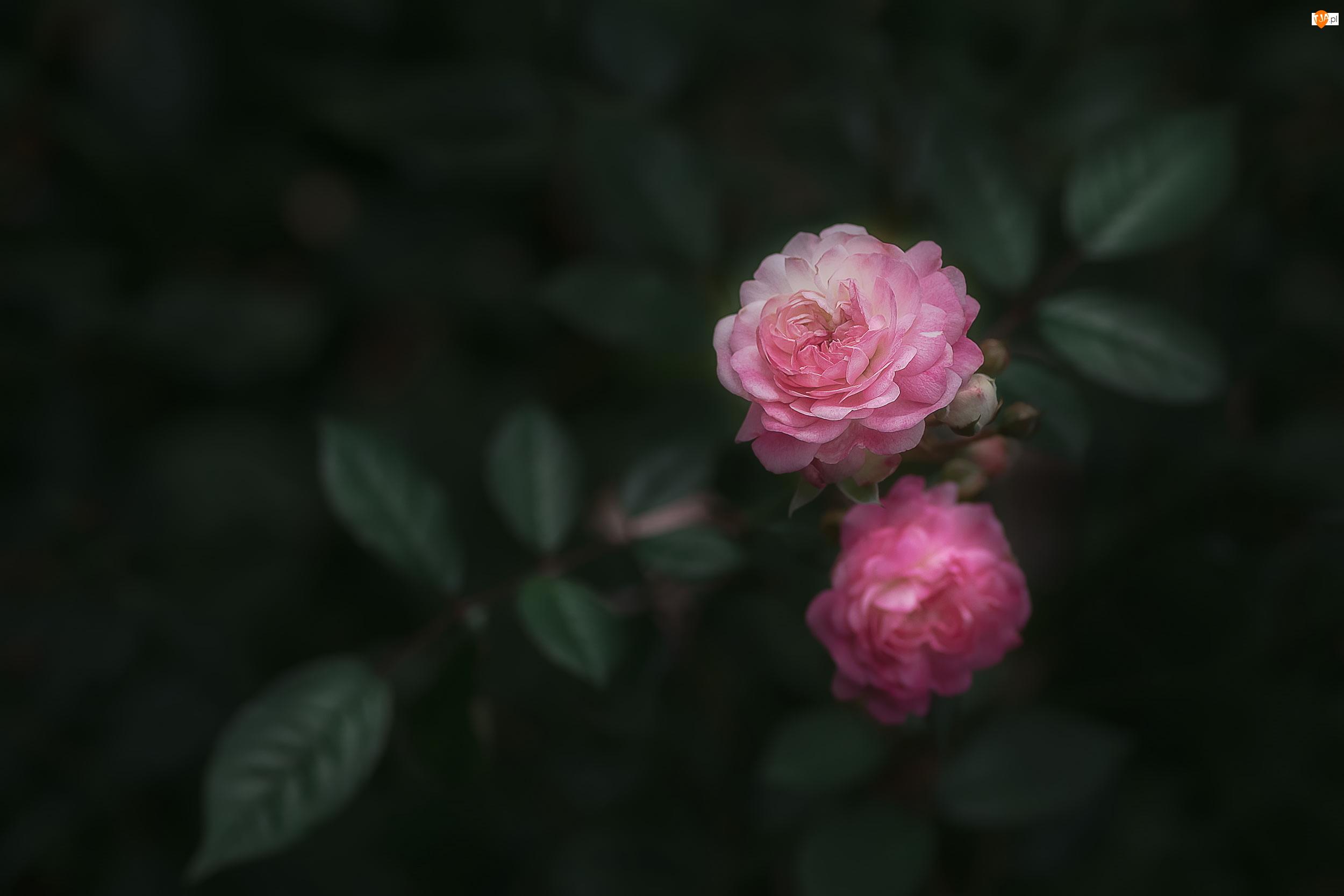 Róże, Ciemne tło, Różowe, Dwie, Liście