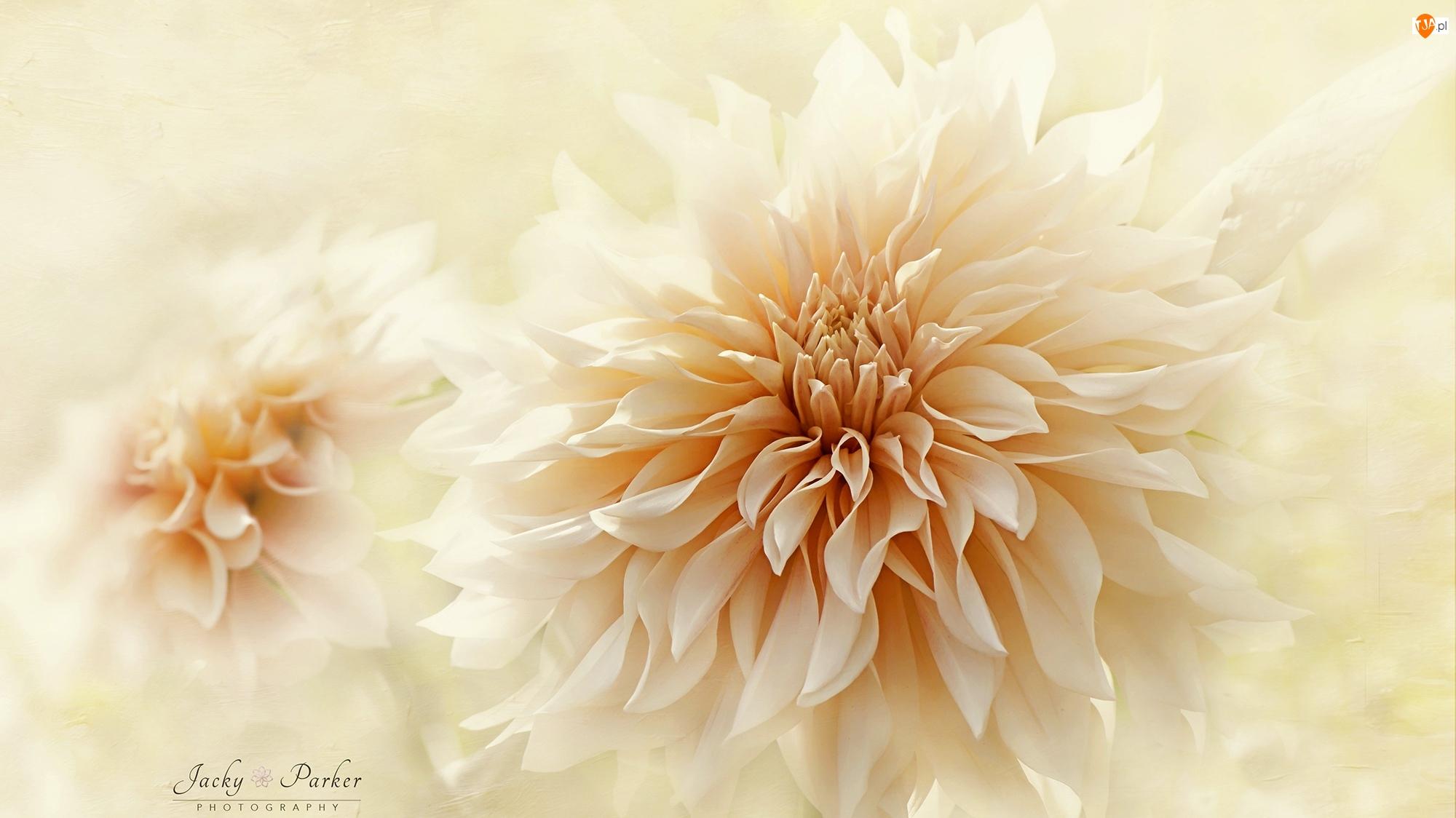 Rozmycie, Kwiat, Dalia