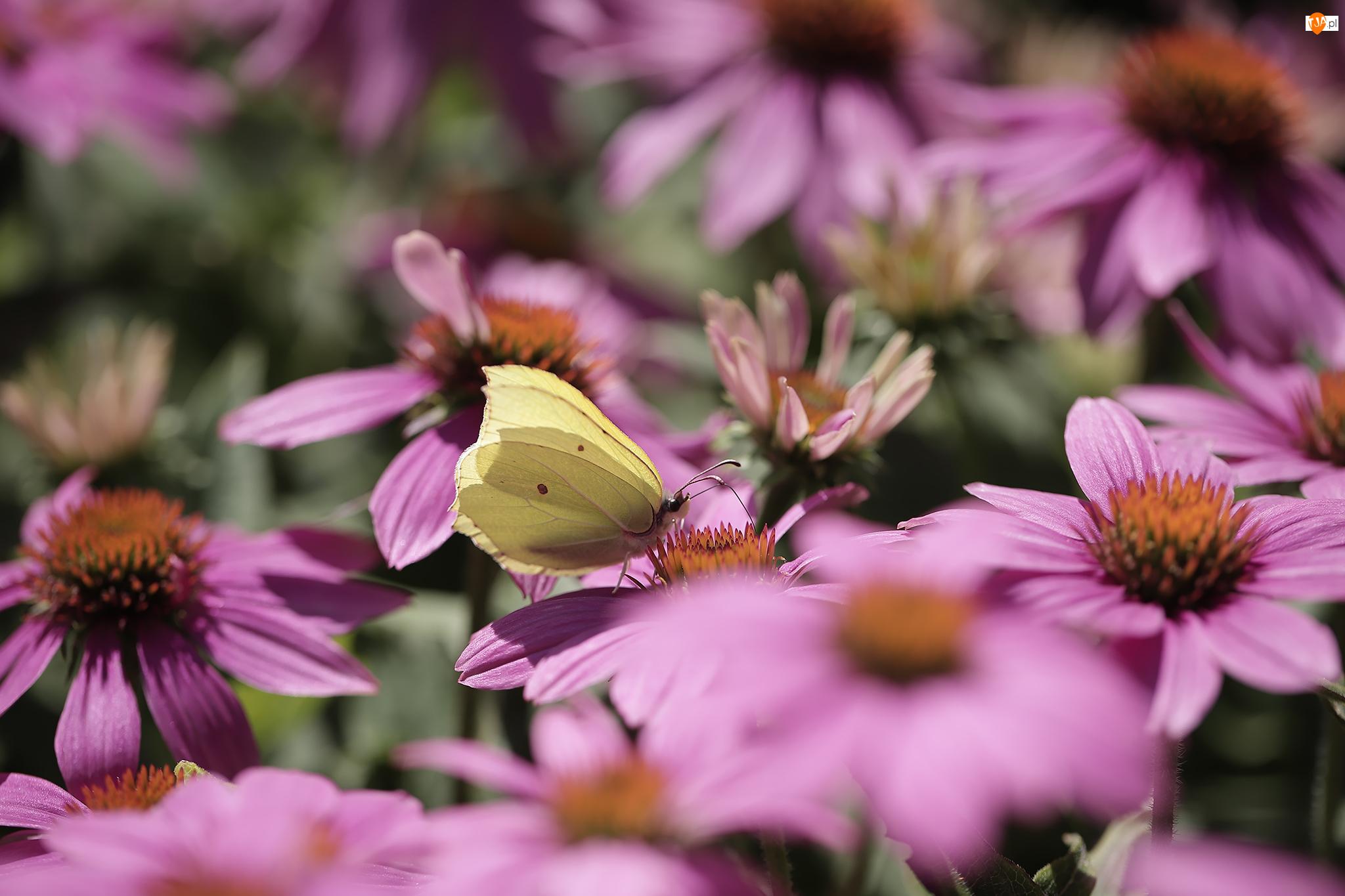 Jeżówki, Motyl, Latolistek cytrynek, Różowe