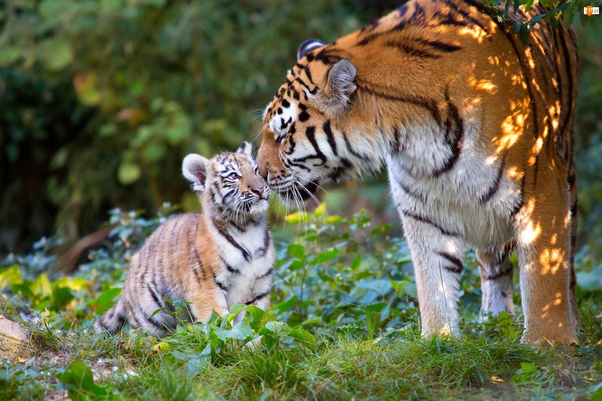 Tygrysiątko, Tygrys, Tygrysica