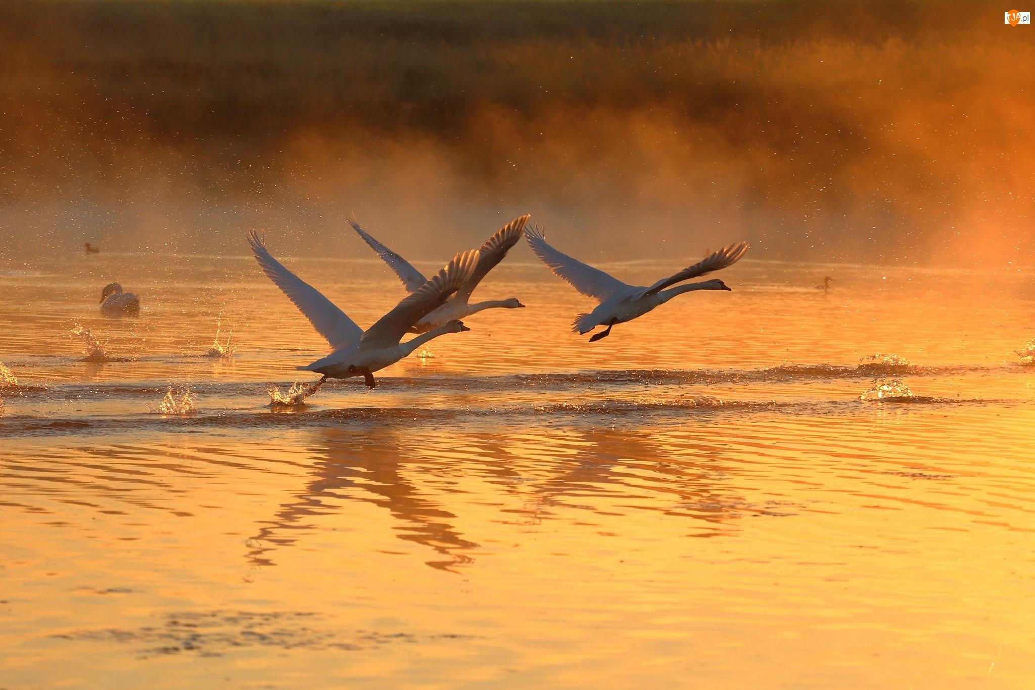 Mgła, Łabędzie, Jezioro, Zachód słońca, Ptaki