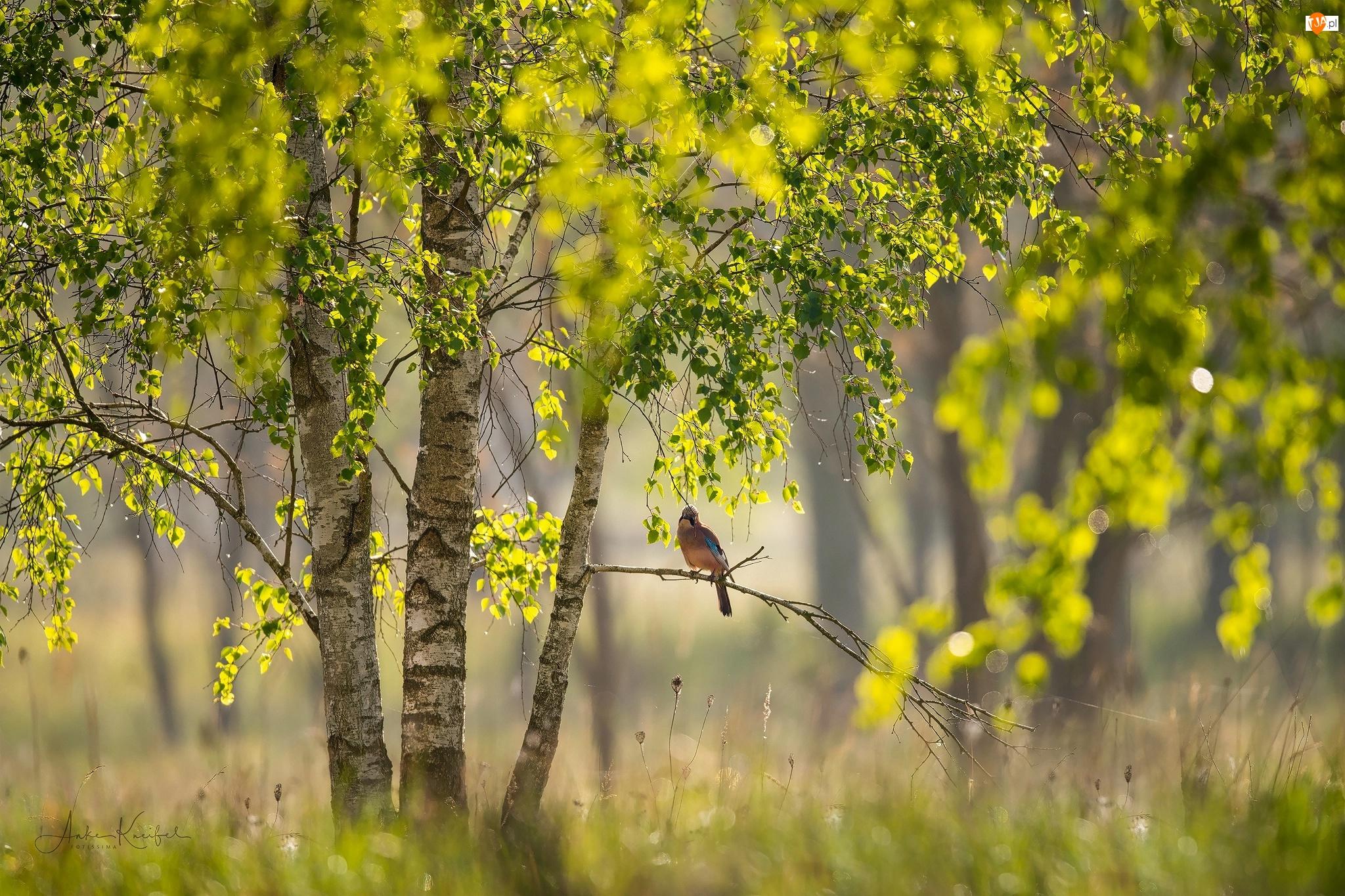 Ptak, Gałąź, Brzozy, Drzewa, Sójka