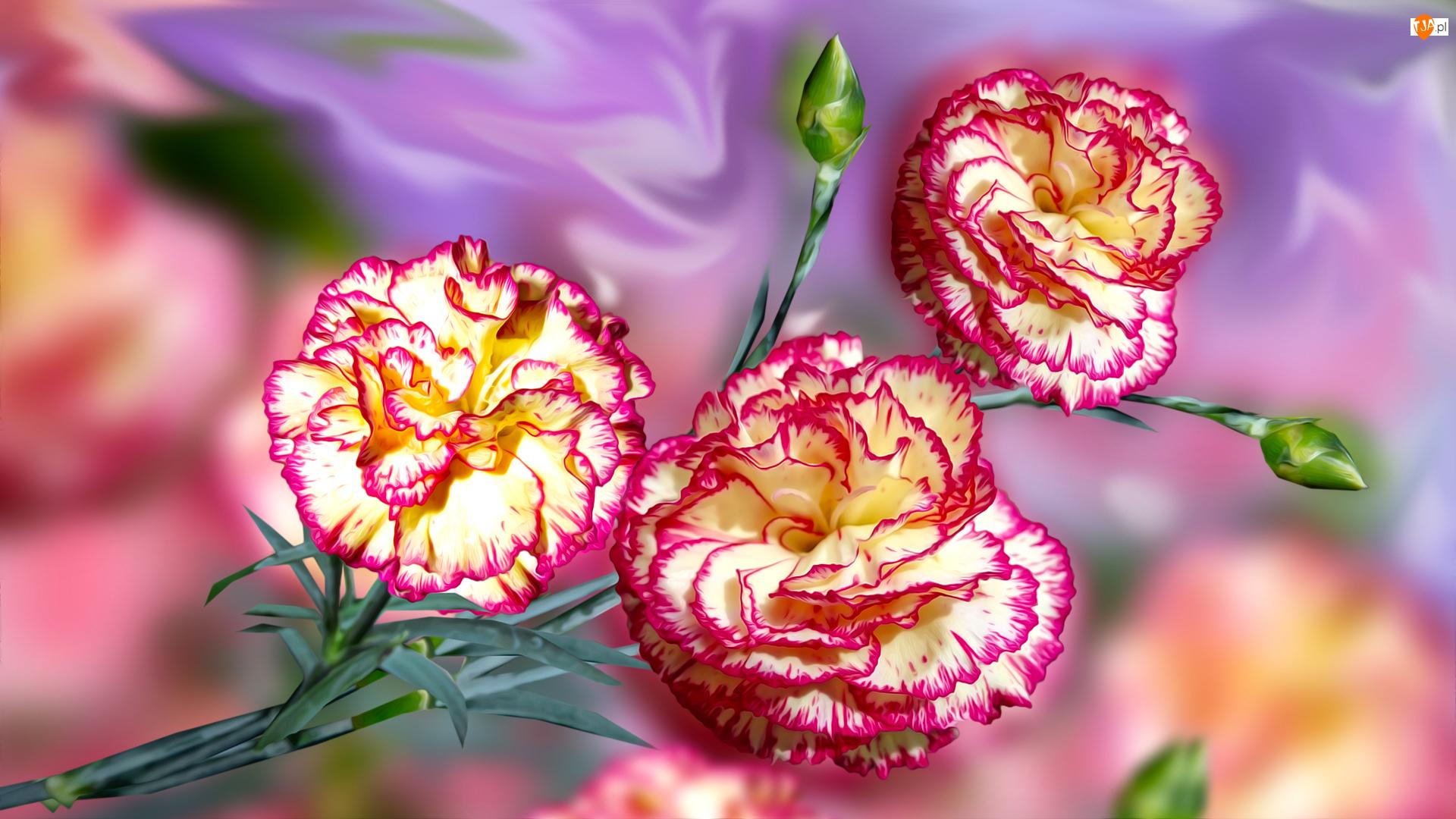 Grafika, Kwiaty, Goździki, Pąki