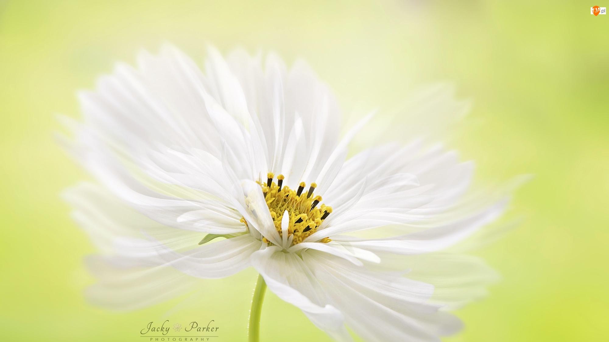 Makro, Biały, Kwiat, Kosmea