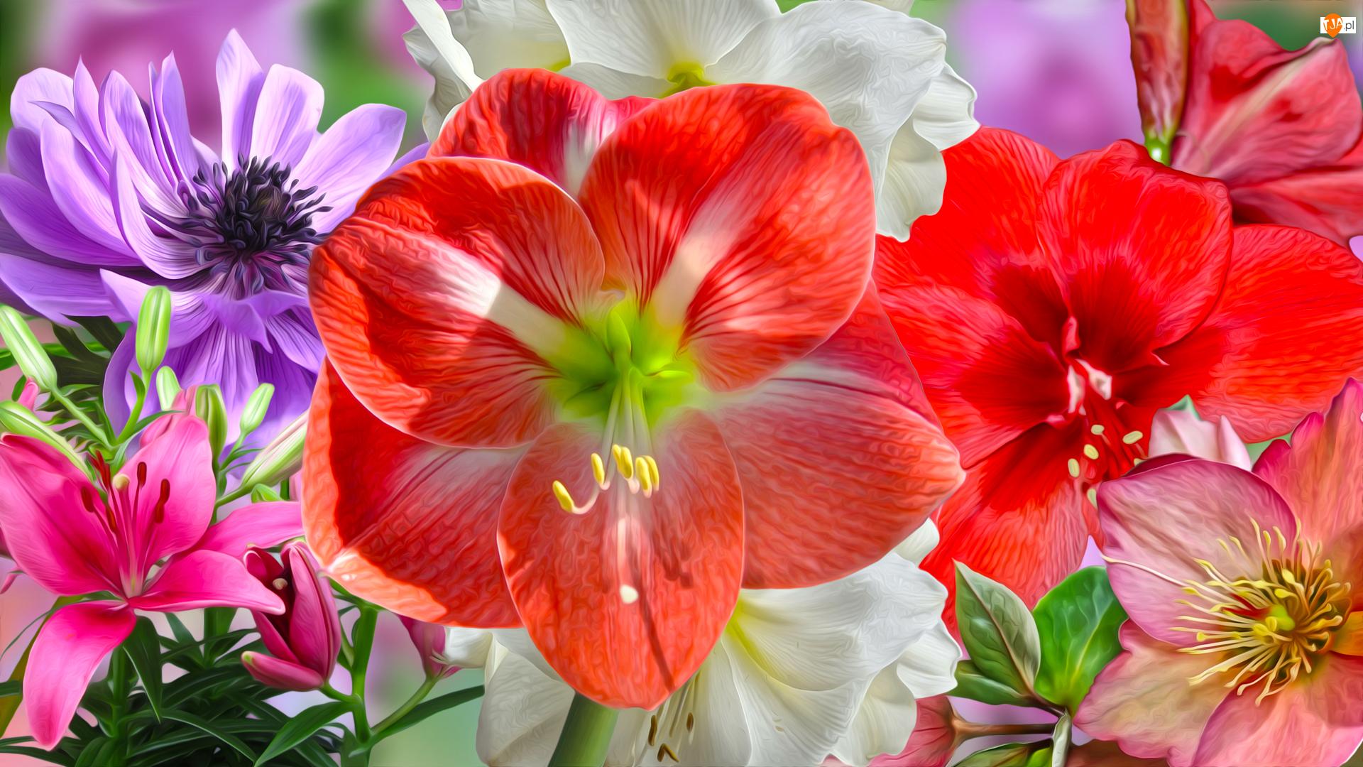 Zawilec, Grafika, Amarylisy, Kwiaty, Lilia