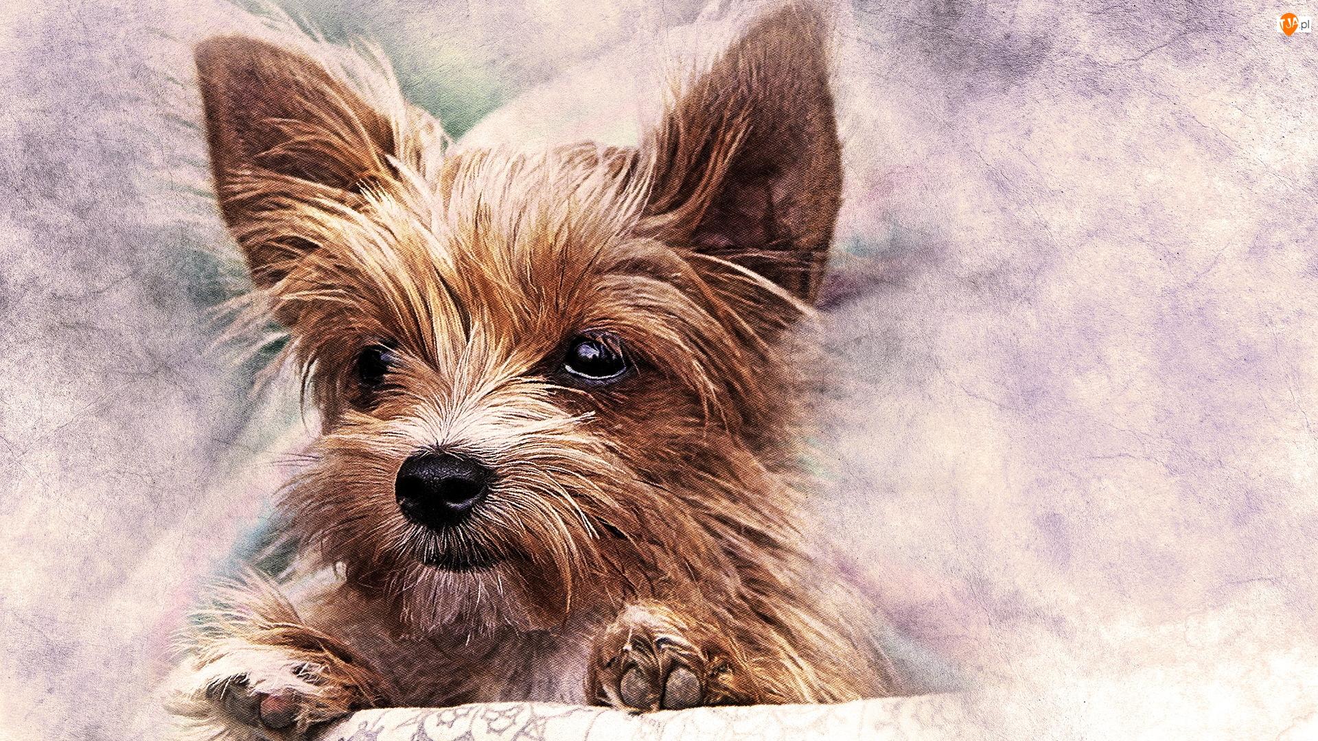Yorkshire terrier, Grafika, Szczeniak, Pies, Mordka