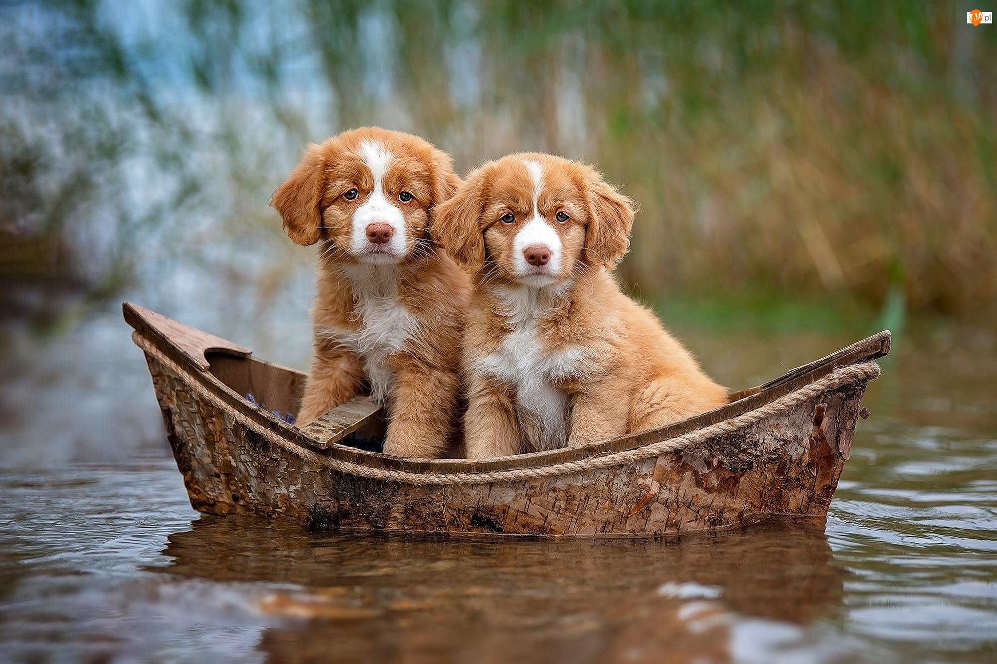 Retrievery z Nowej Szkocji, Psy, Szczeniaki, Łódka