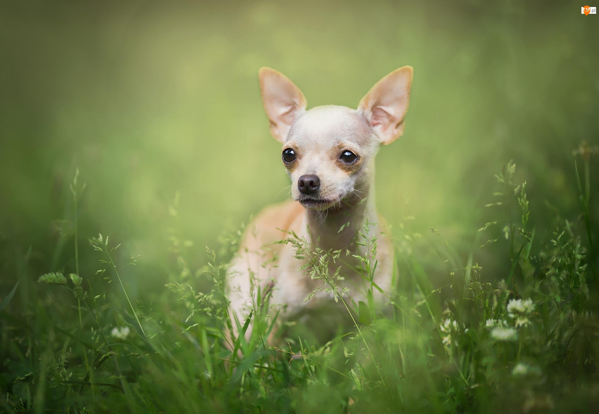 Trawa, Pies, Chihuahua krótkowłosa