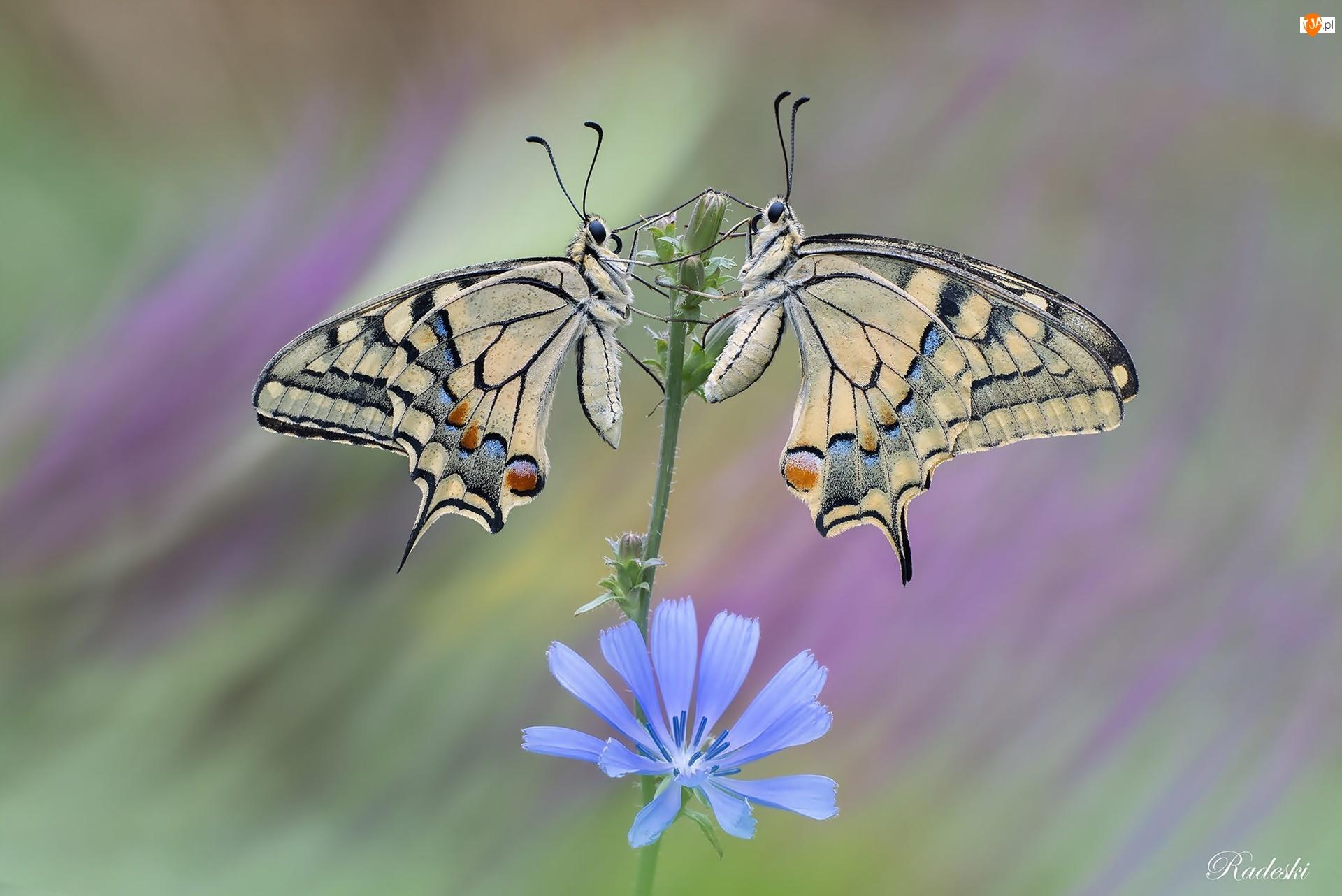 Pazie królowej, Kwiat, Motyle, Dwa, Niebieski