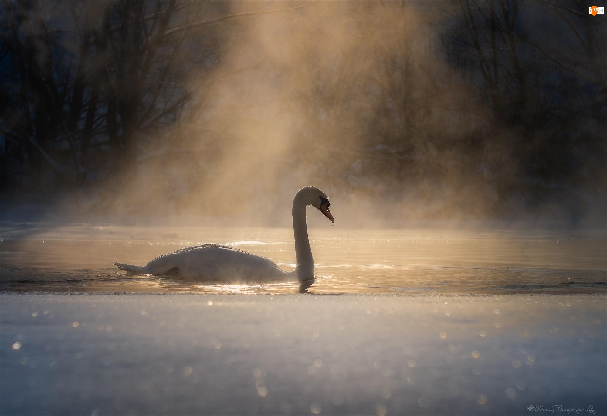 Poranek, Mgła, Zima, Łabędź, Poświata