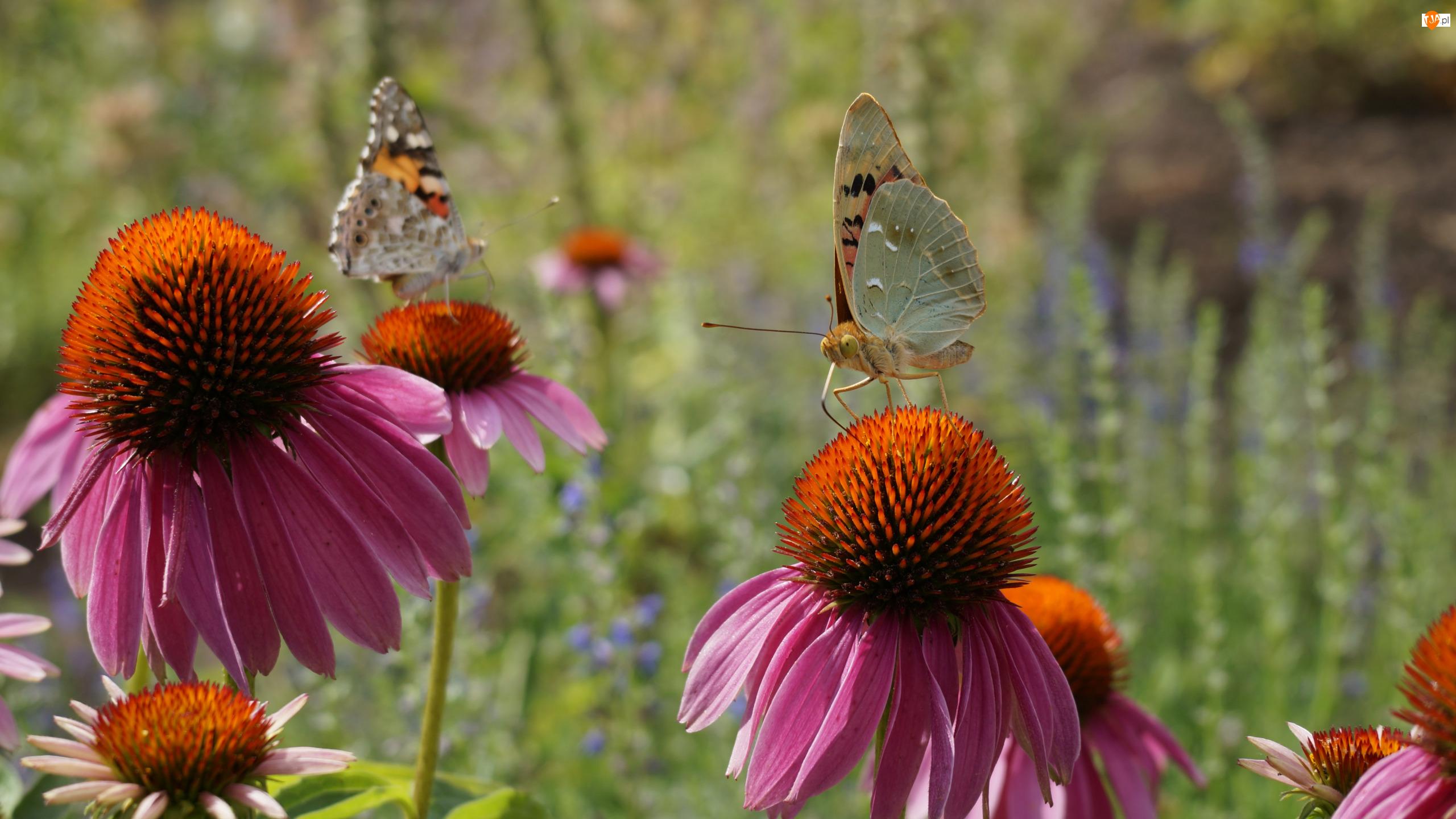 Jeżówki, Dwa, Motyle, Kwiaty