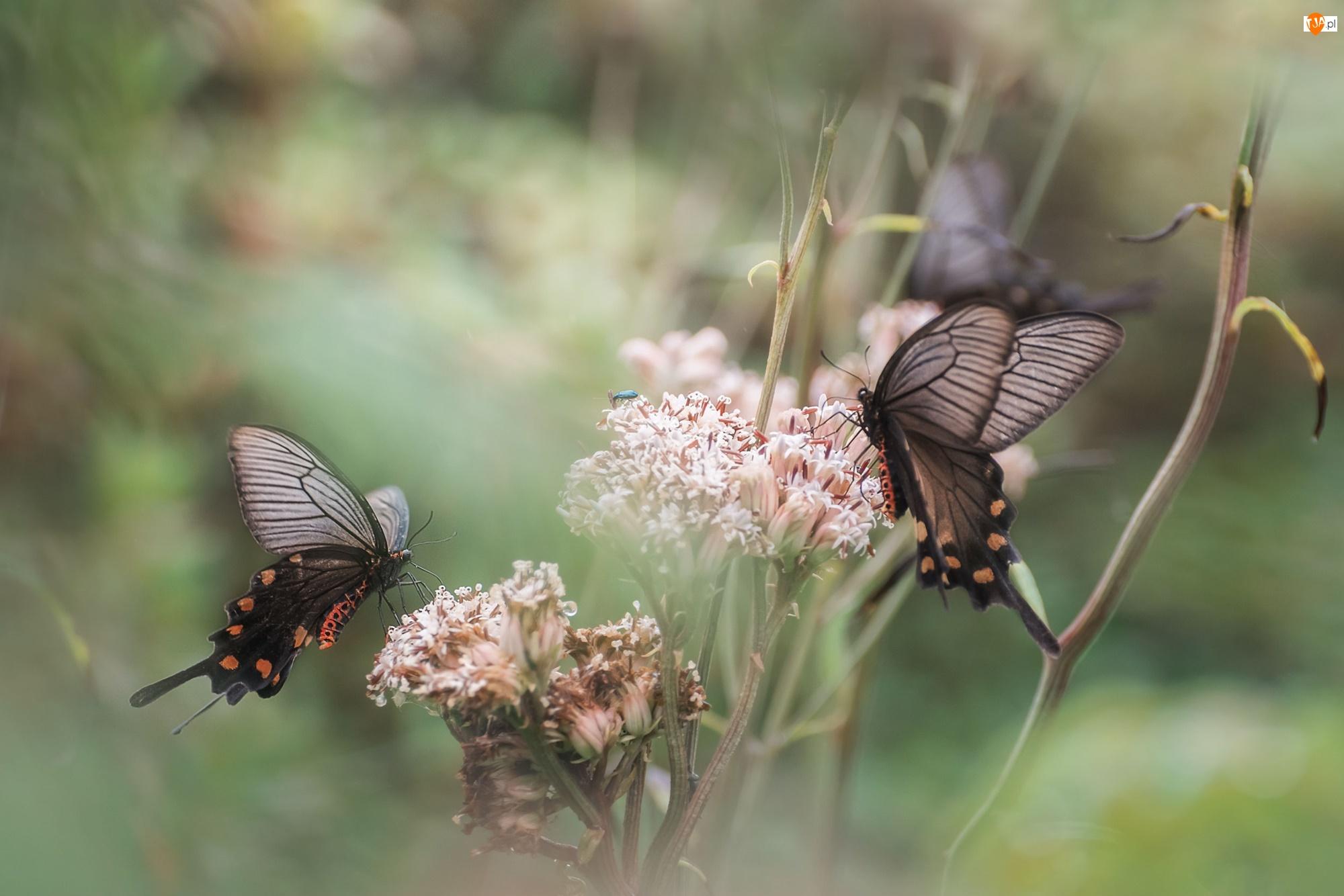 Kwiaty, Tło, Motyle, Dwa, Rozmyte