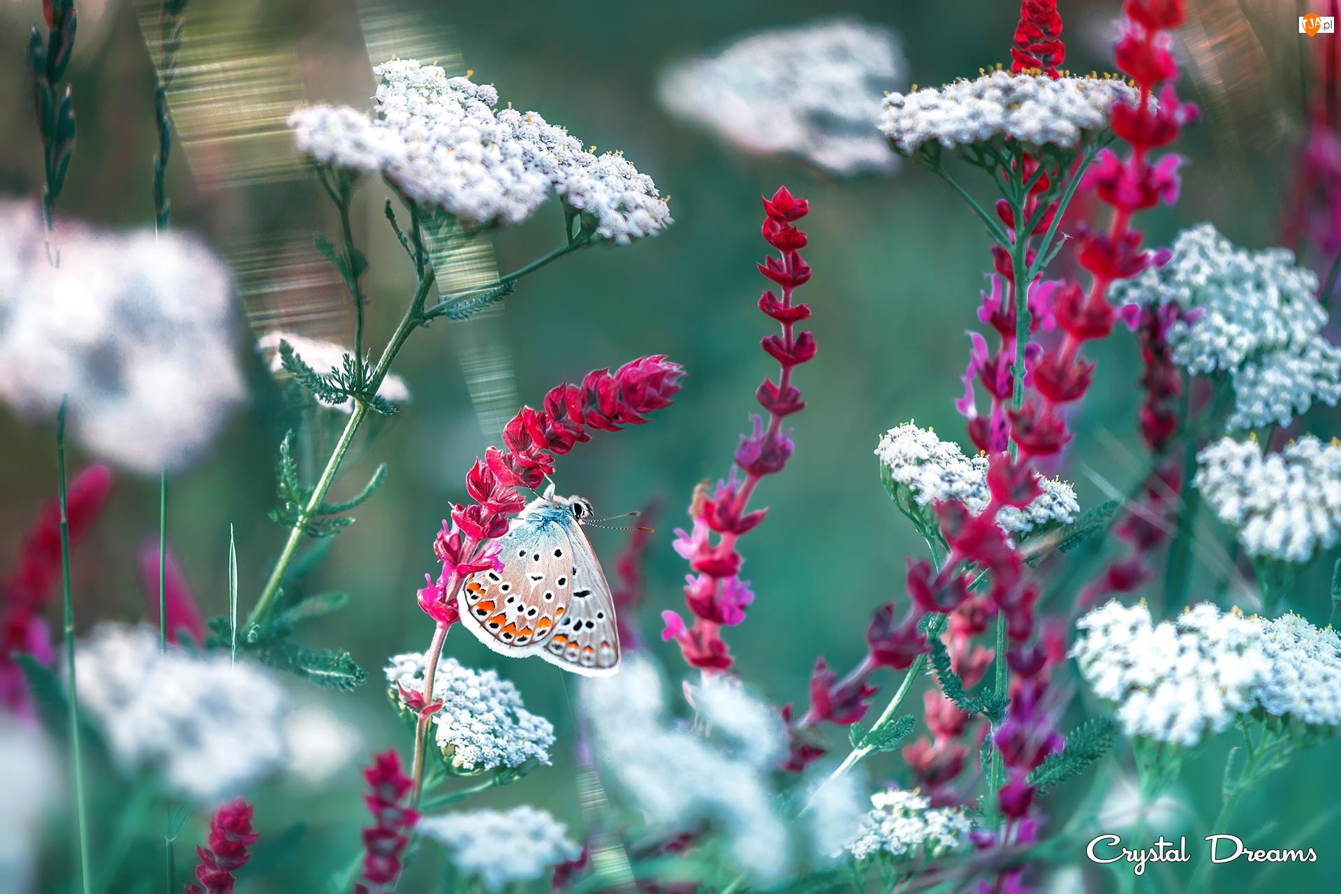 Białe, Kwiaty, Modraszek ikar, Motyl, Czerwone