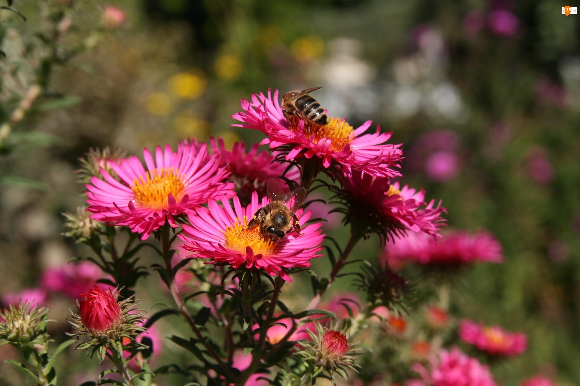 Pszczoły, Astry