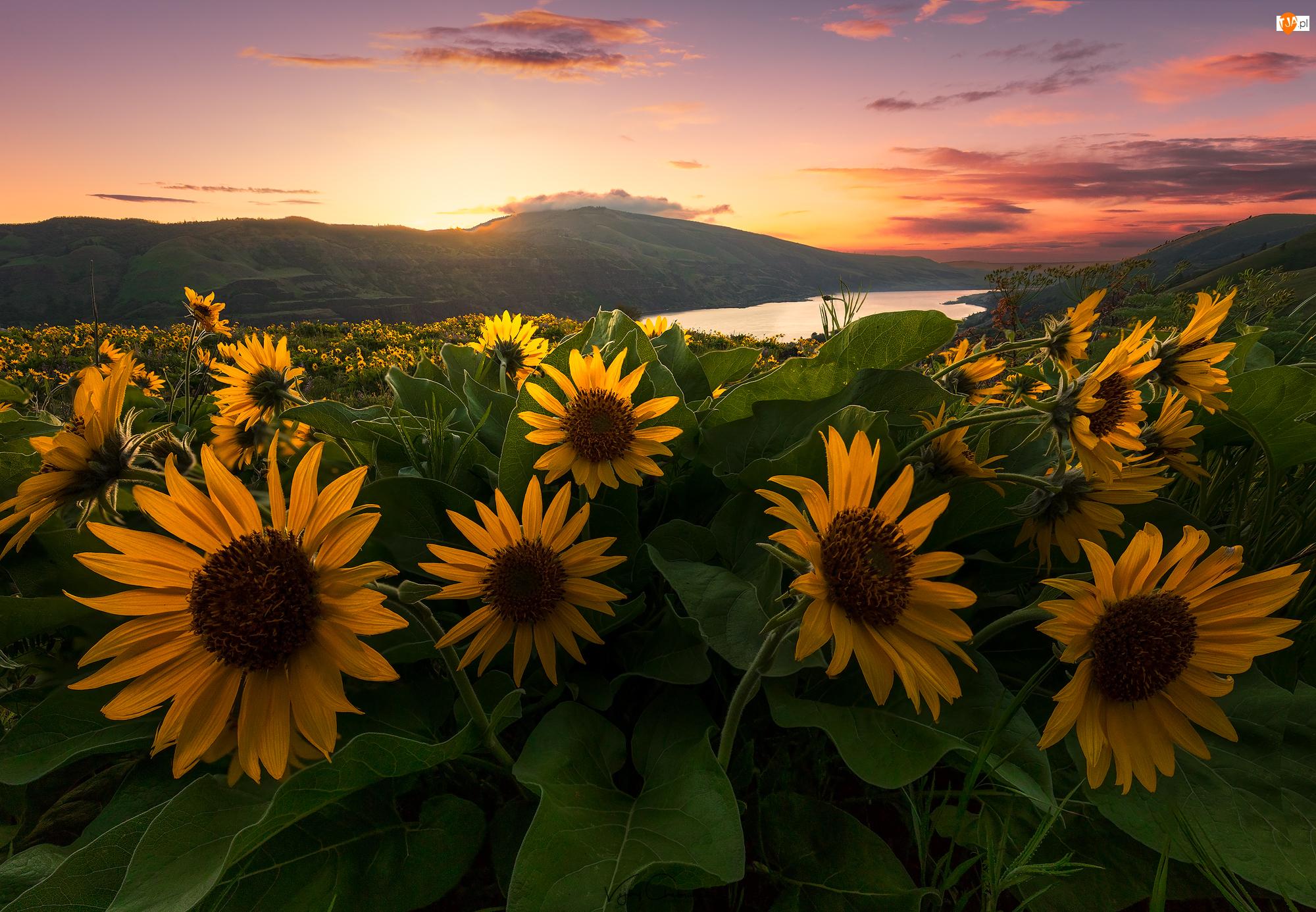 Wschód słońca, Wzgórza, Rzeka, Balsamorhiza