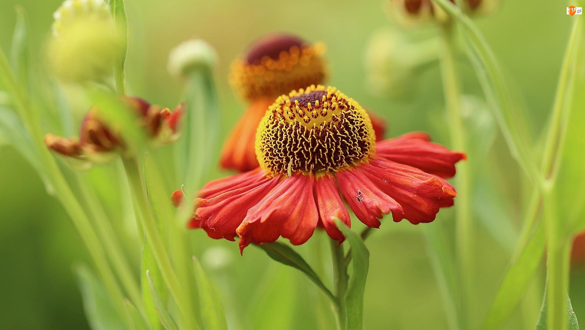 Zbliżenie, Kwiat, Dzielżan