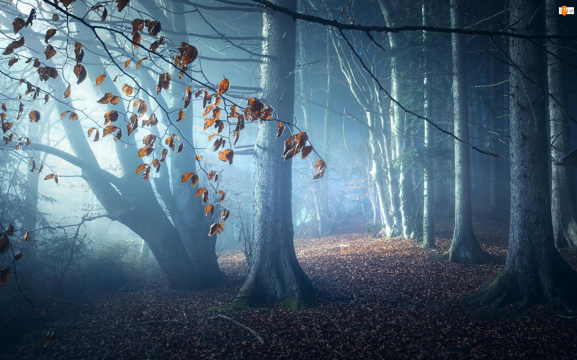 Drzewa, Las, Jesień, Liście, Mgła, Opadłe