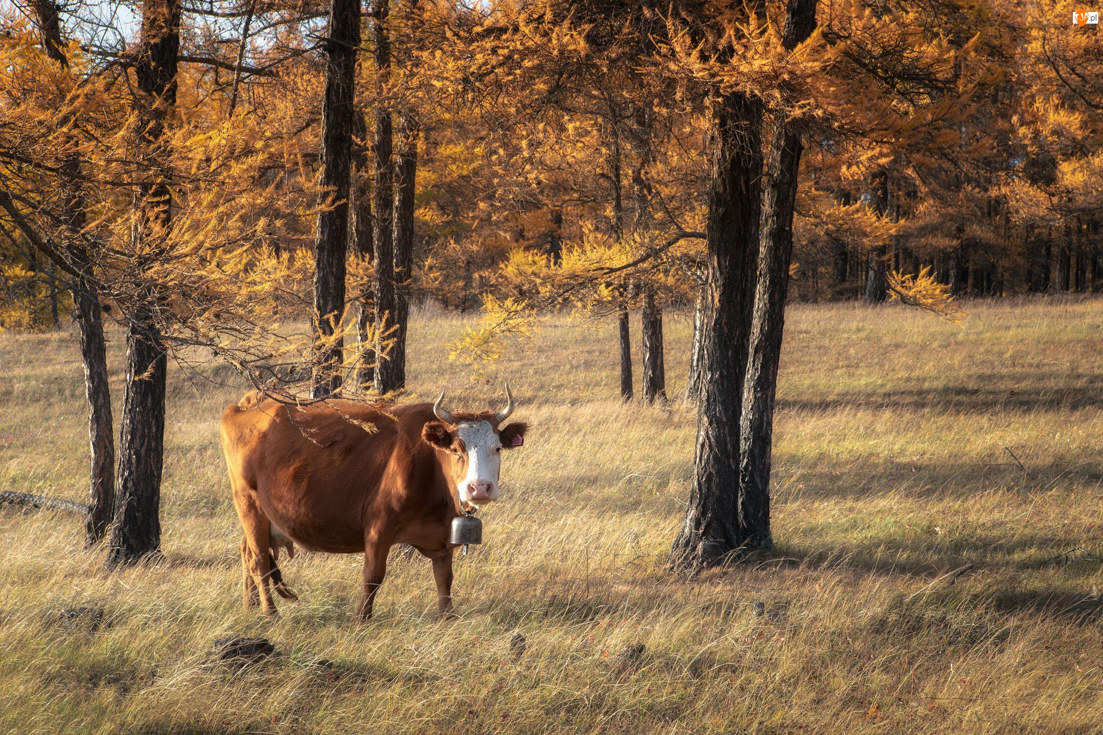 Trawa, Krowa, Las, Drzewa