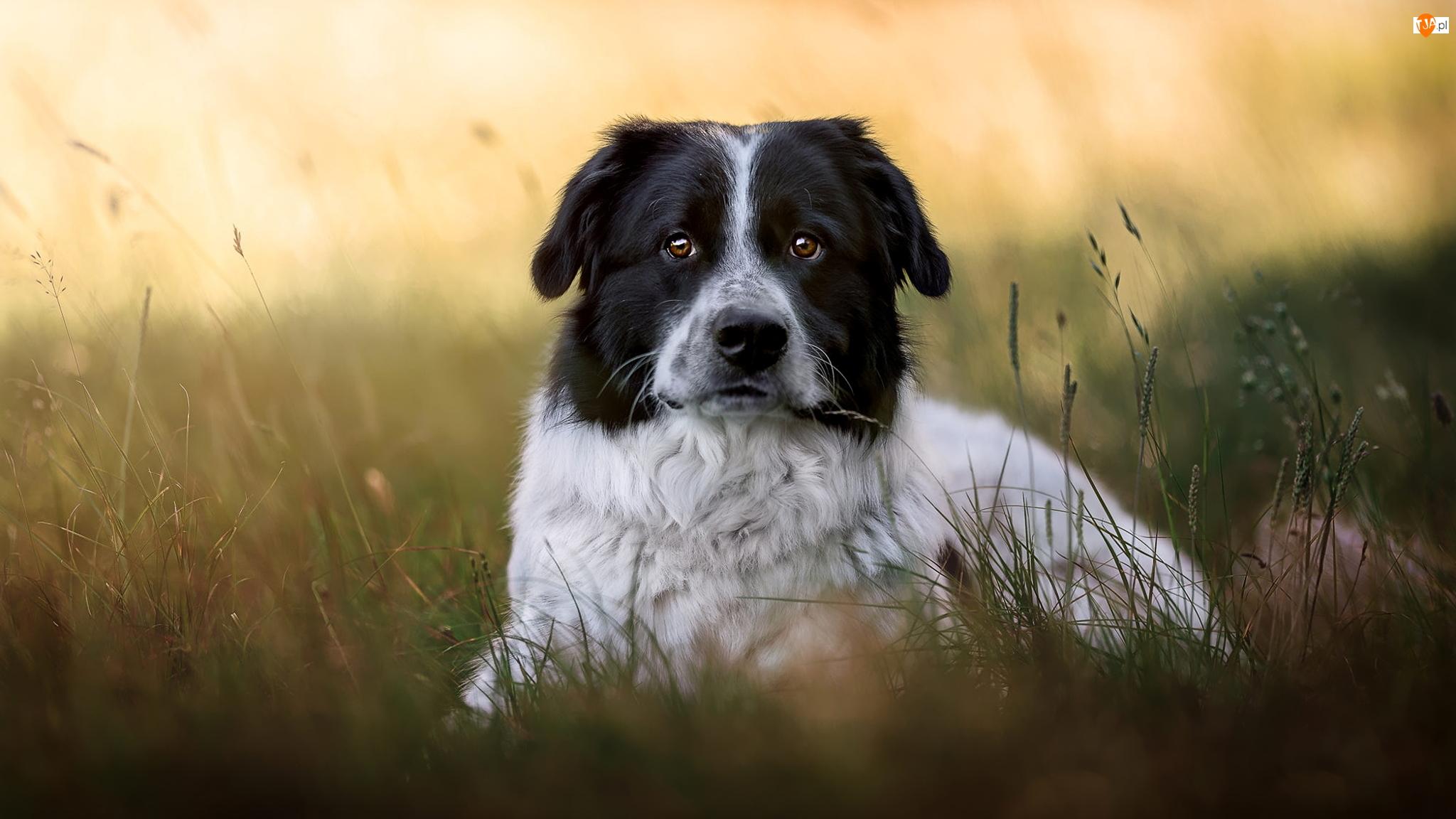 Trawa, Pies, Kundelek, Czarno-biały