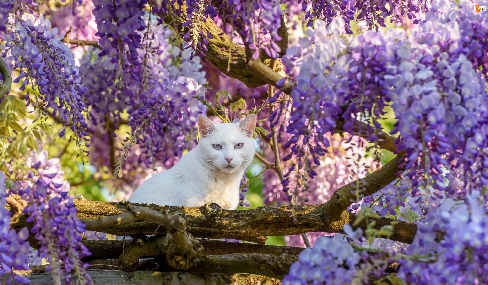 Drzewo, Glicynia, Kot, Biały, Kwiaty