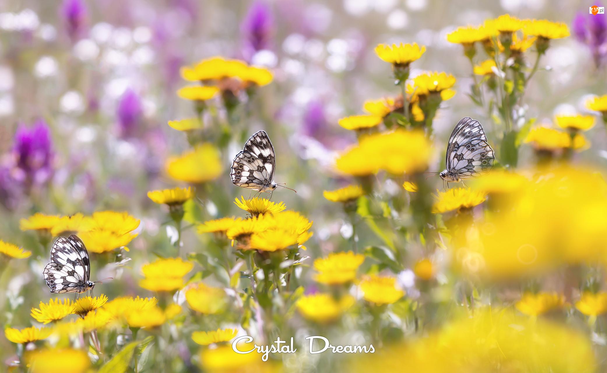 Polowce szachownice, Kwiaty, Motyle, Trzy, Żółte