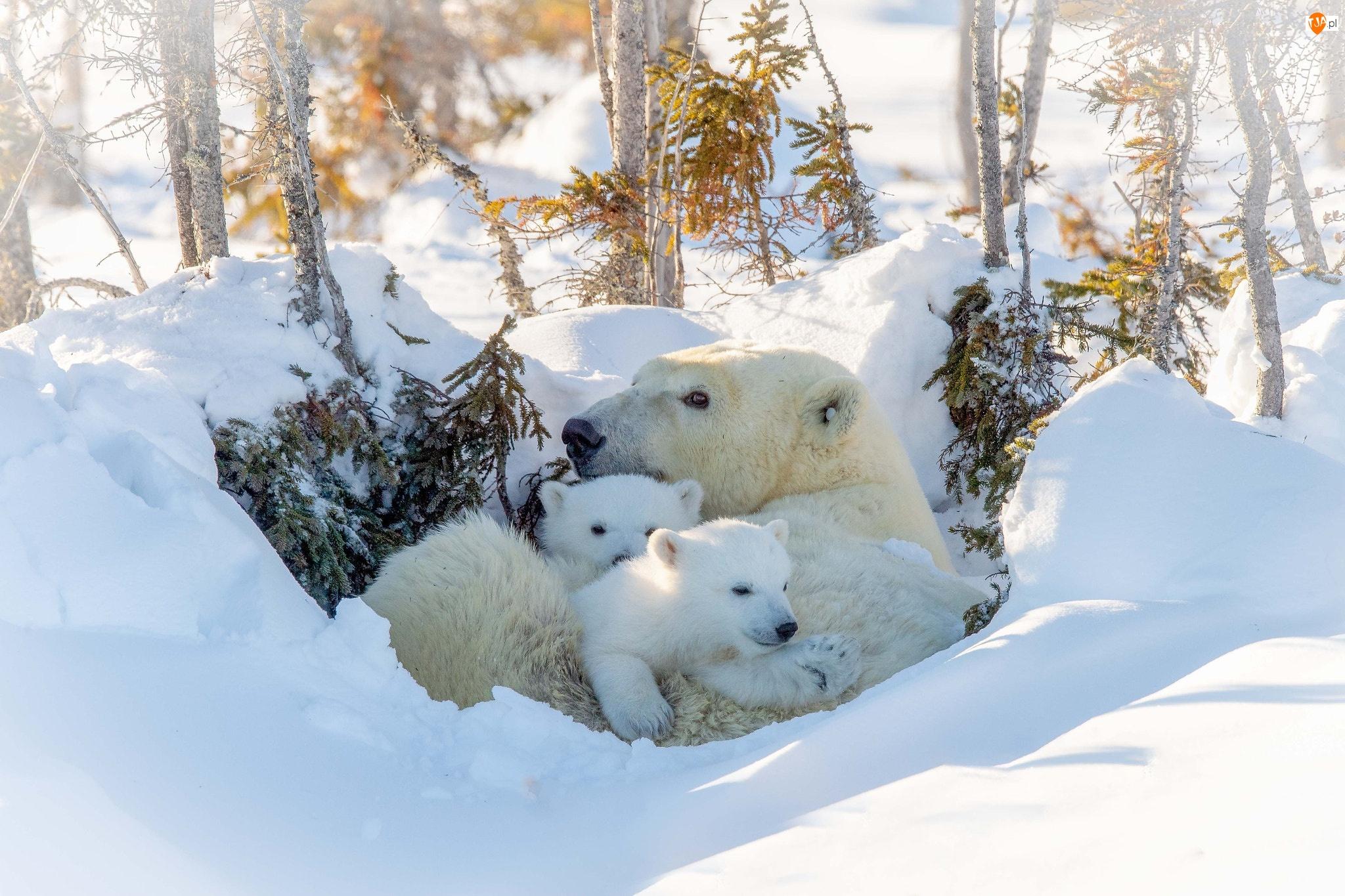 Niedźwiedzica, Drzewa, Niedźwiedzie polarne, Zima, Niedźwiadki