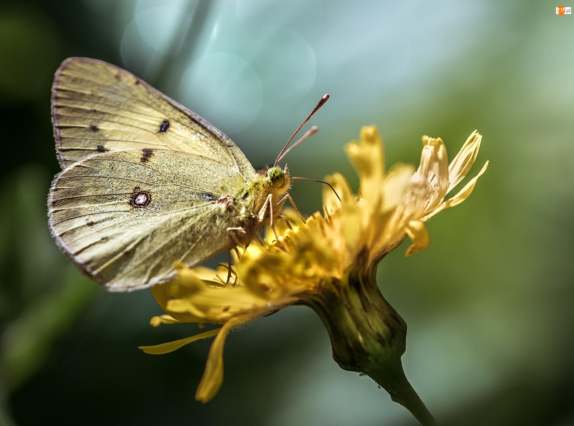 Kwiat, Żółty, Motyl, Żółty