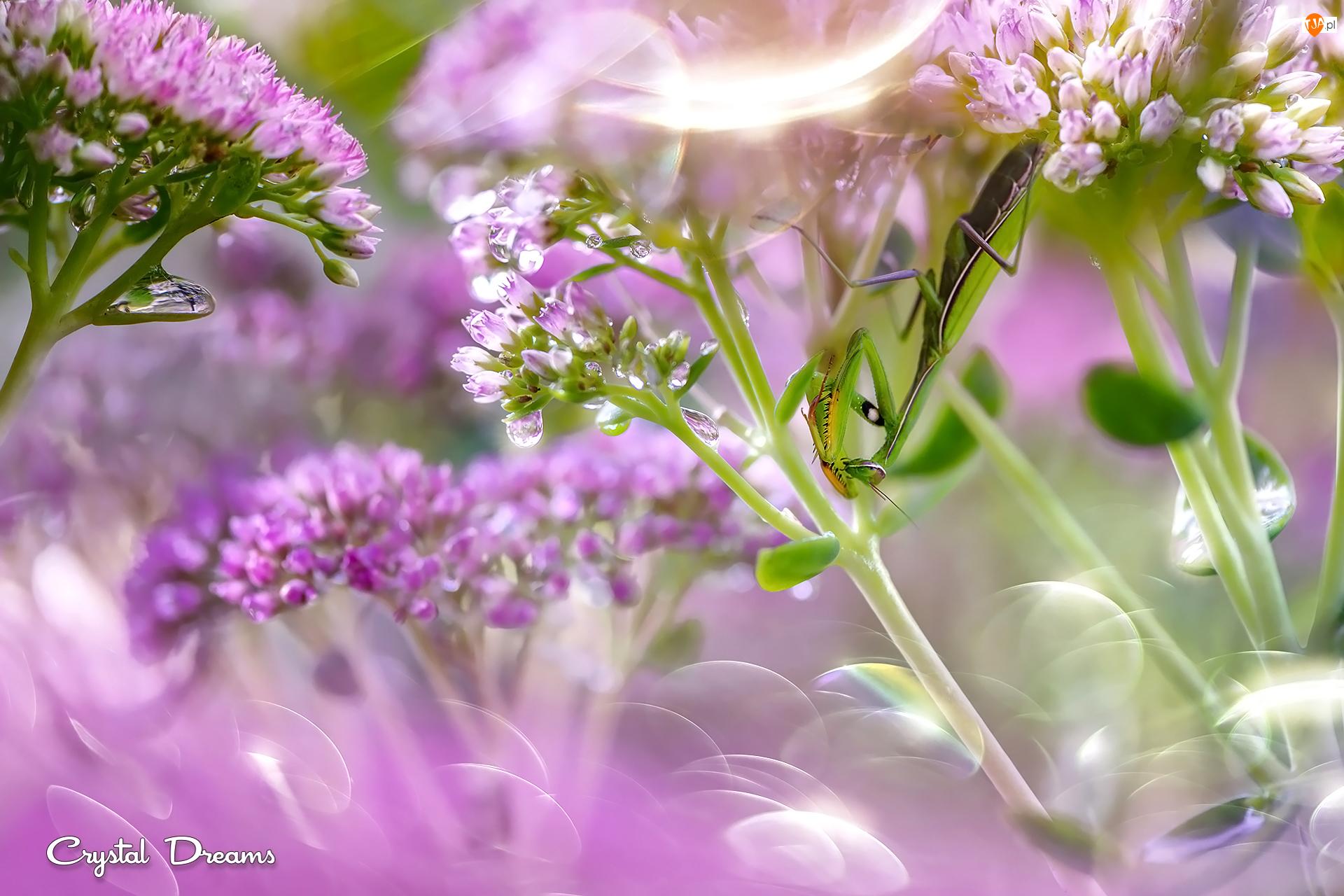 Rozmycie, Modliszka, Różowe, Kwiaty