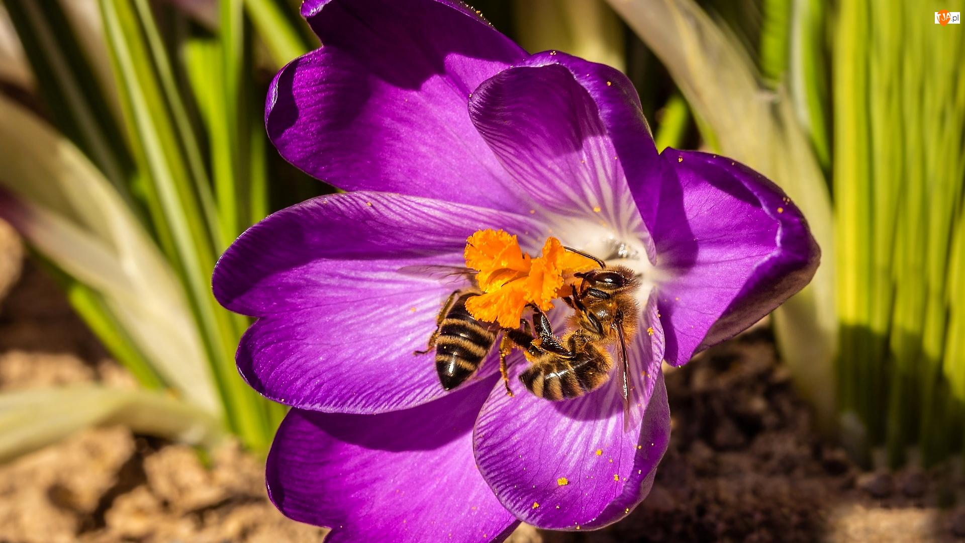 Pszczoły, Kwiat, Krokus
