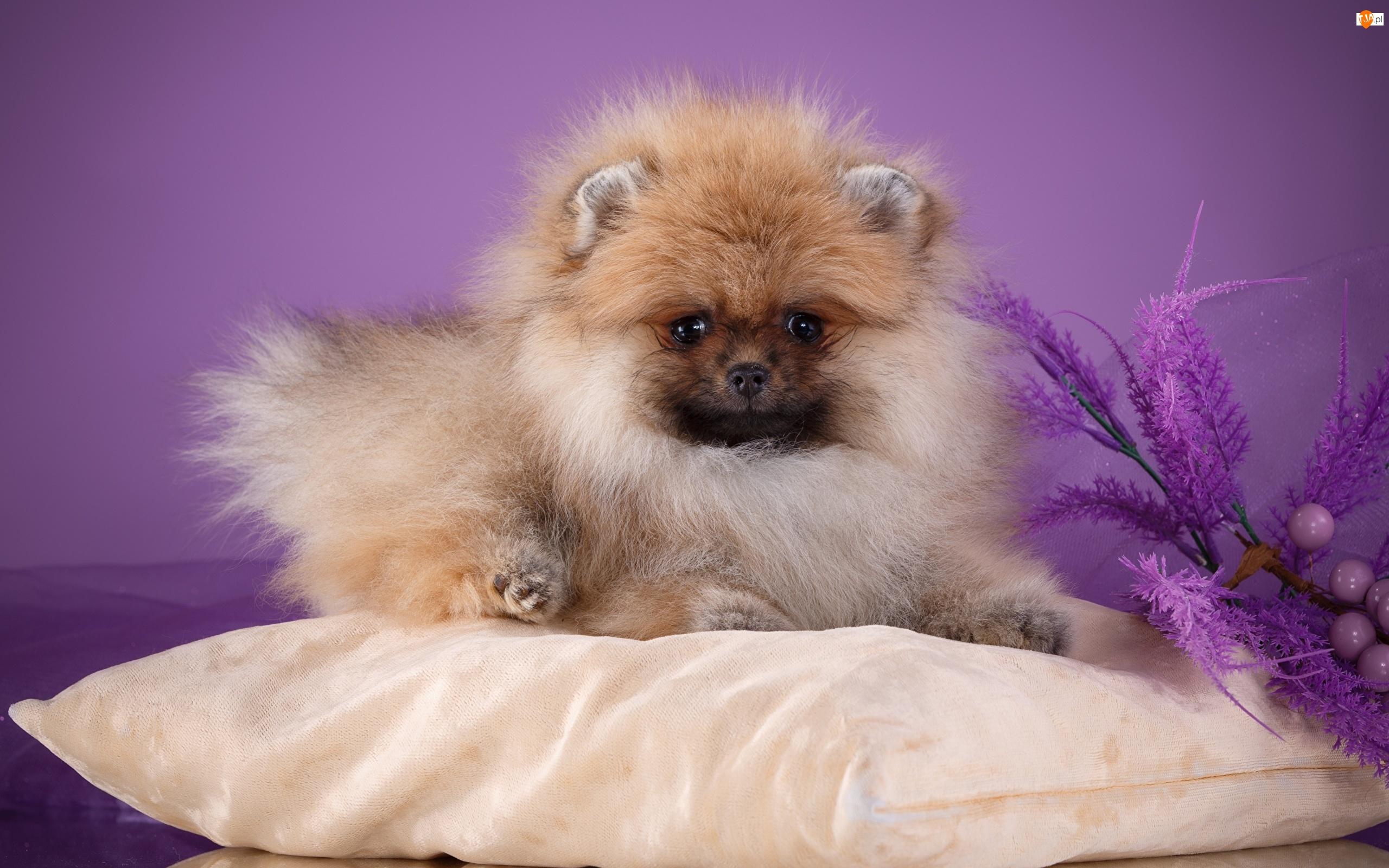 Poduszka, Pies, Puszysty, Szpic miniaturowy