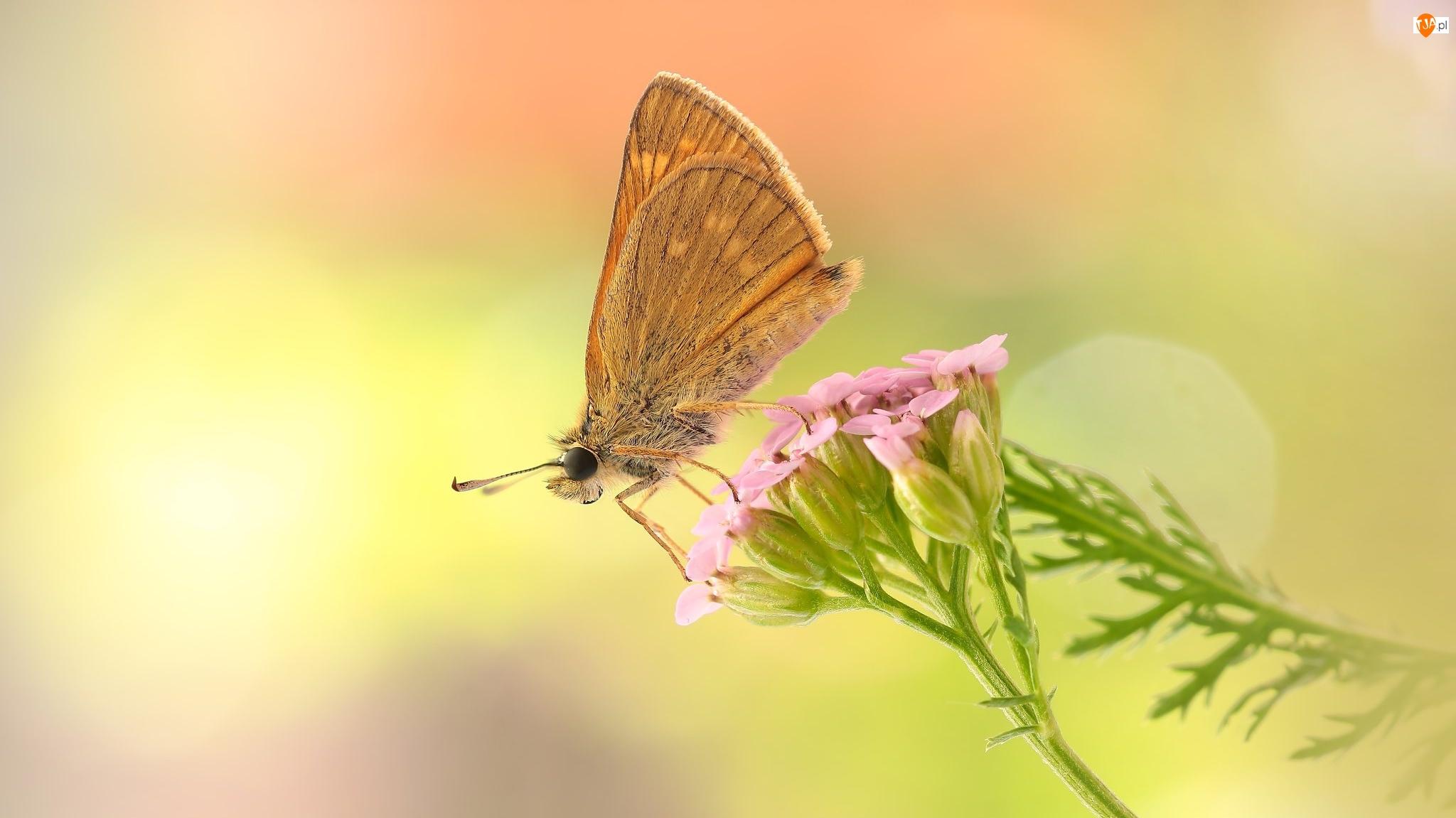 Makro, Motyl, Różowy, Kwiat