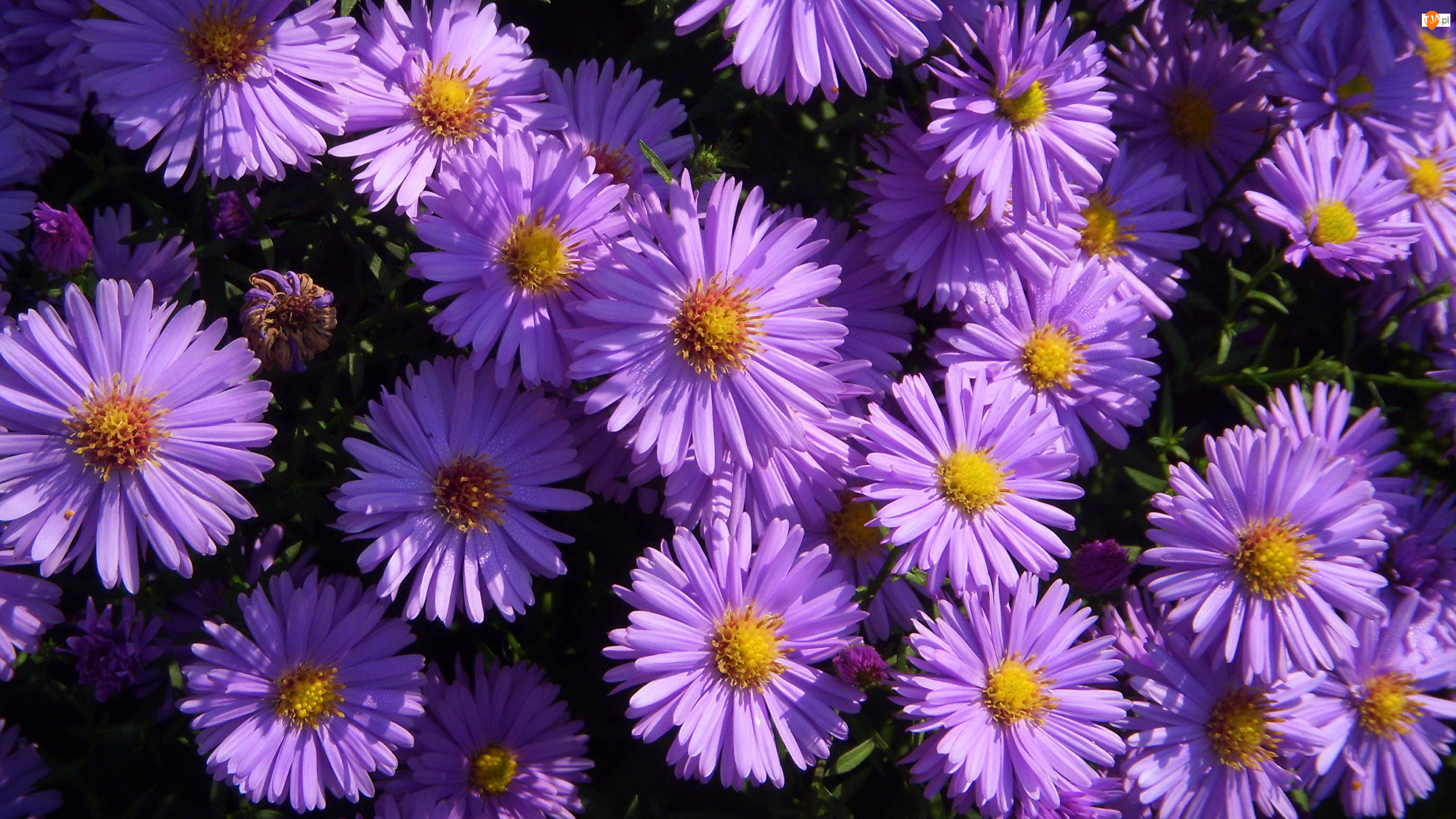 Zbliżenie, Kwiaty, Fioletowe, Astry marcinki