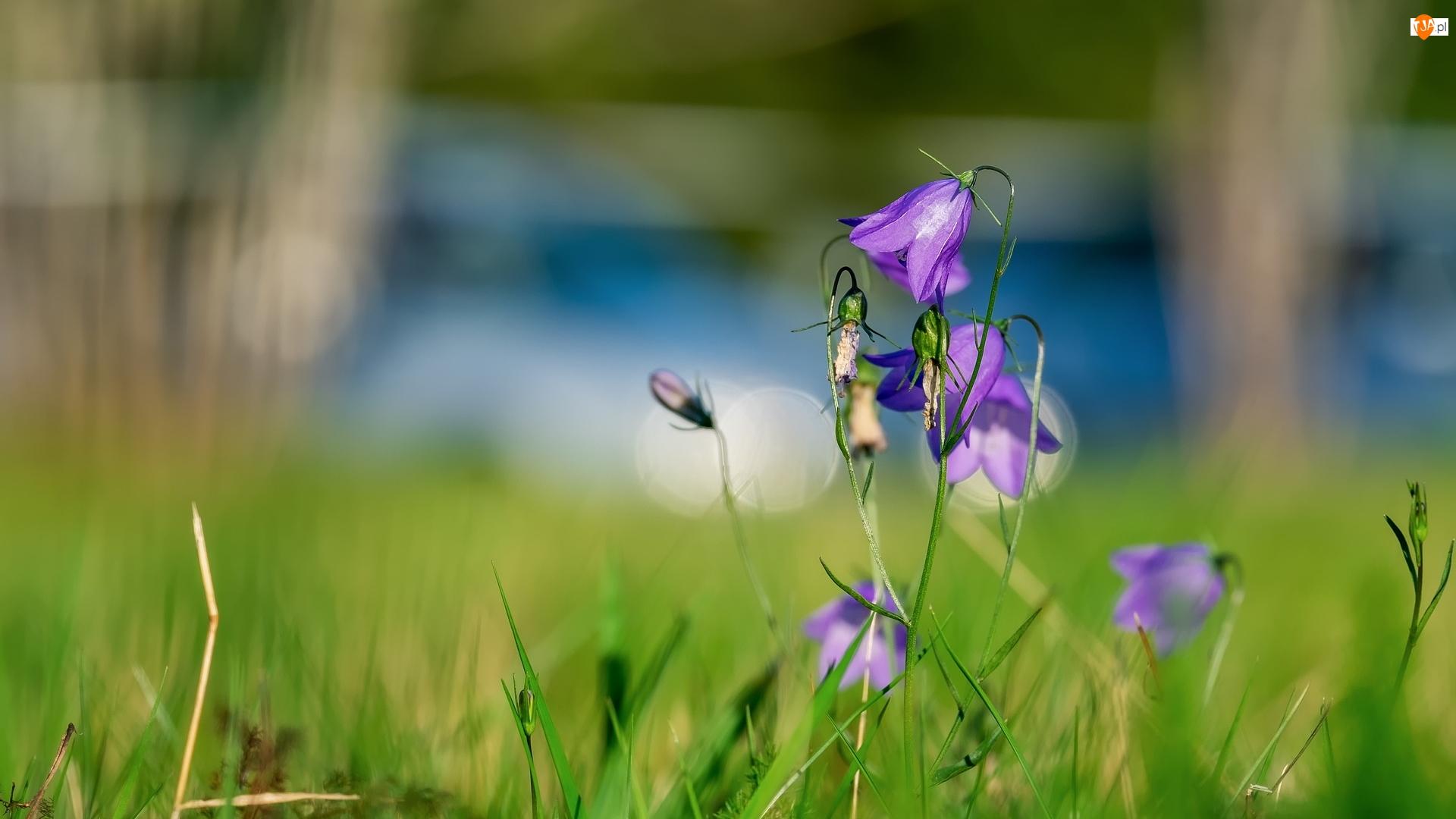 Zbliżenie, Fioletowe, Kwiaty, Dzwonki