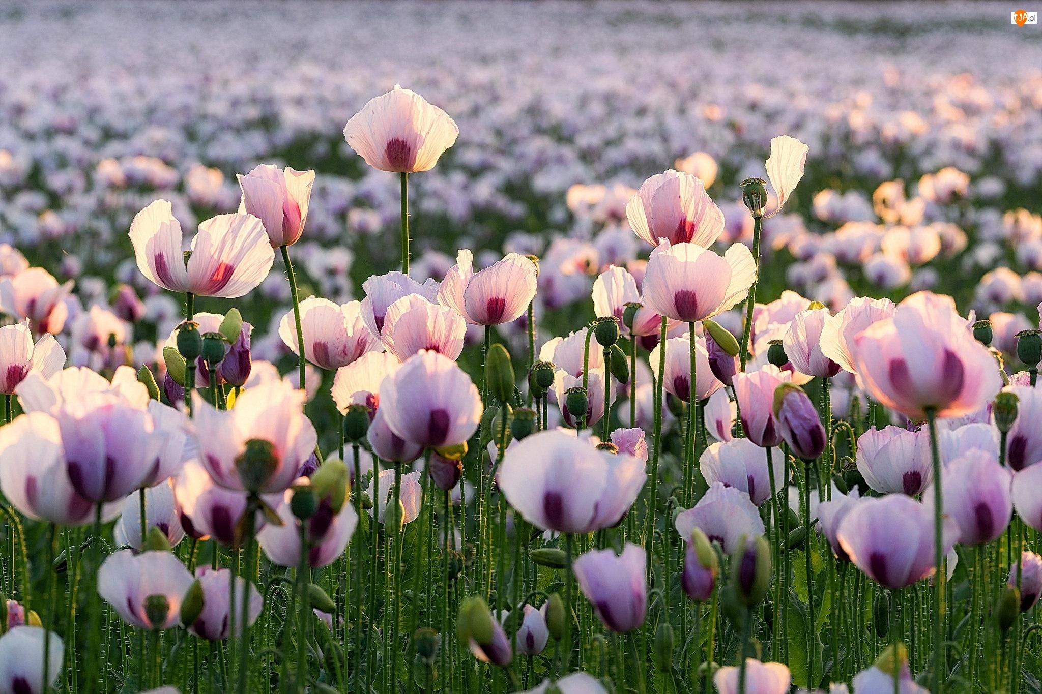 Maki, Kwiaty, Jasnoróżowe